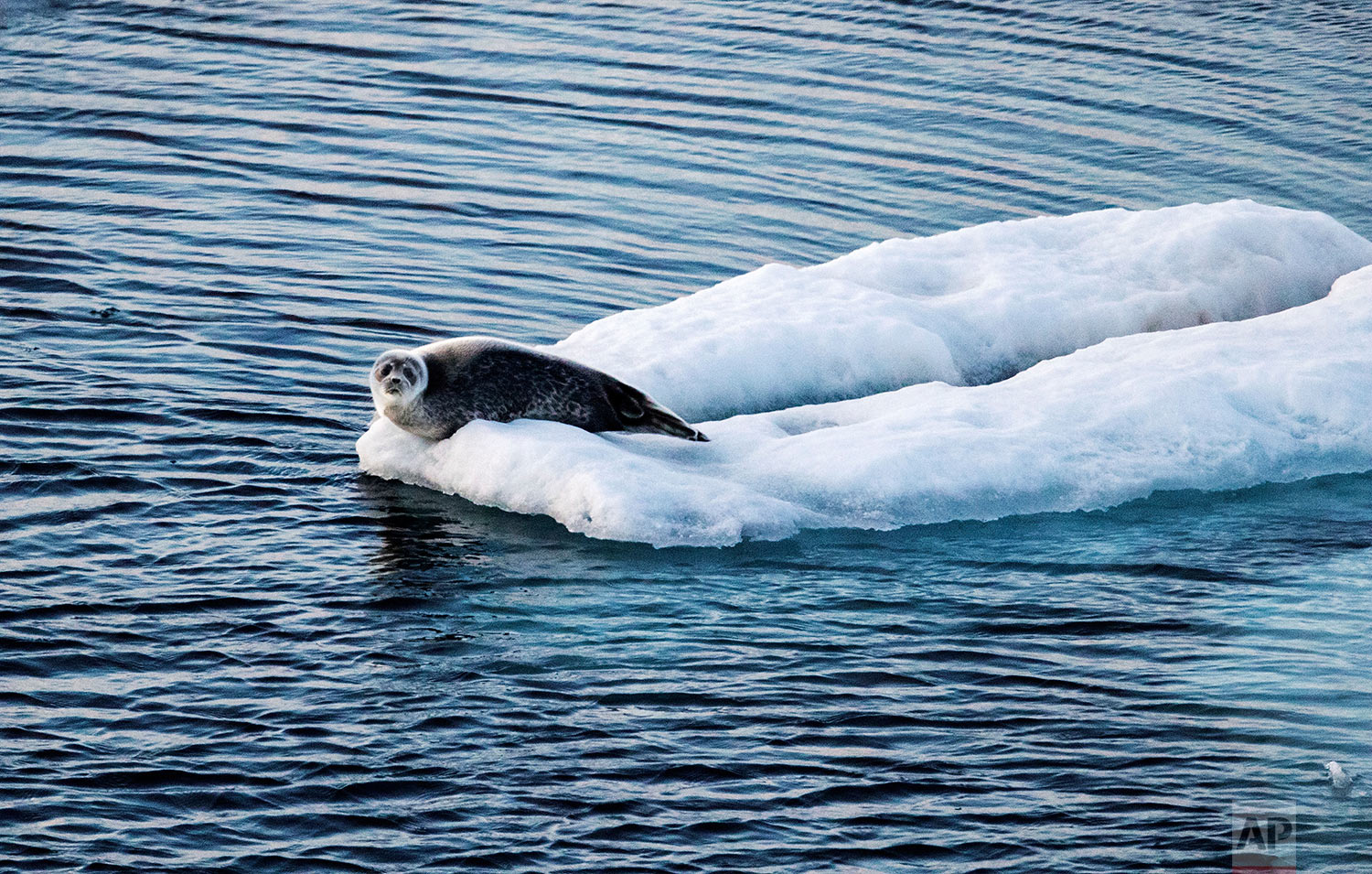 """A seal sits on sea ice floating in the Victoria Strait in the Canadian Arctic Archipelago, Friday, July 21, 2017. """"People are so far removed from the Arctic that they don't understand it, they don't know it and they don't love it,"""" said Paula von Weller, a field biologist who was on the trip. """"I think it's important for people to see what's here and to fall in love with it and have a bond and want to protect it."""" (AP Photo/David Goldman)"""