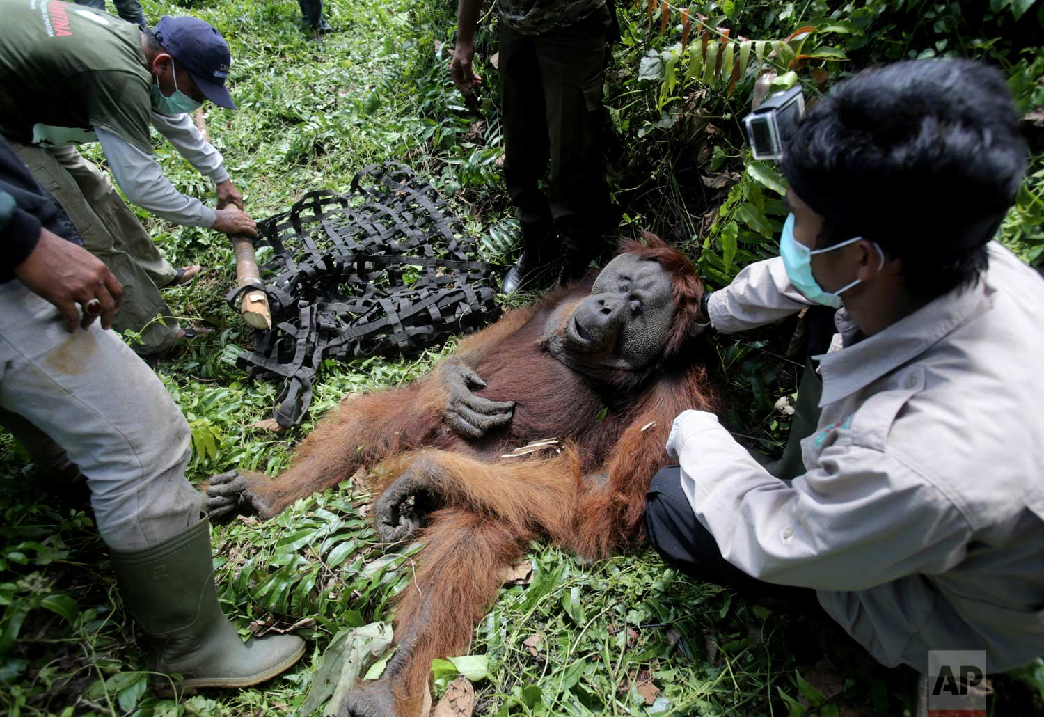 In this Thursday, Aug. 10, 2017 photo, conservationists of the Sumatran Orangutan Conservation Program (SOCP) prepare a makeshift stretcher to carry a tranquilized male orangutan to be relocated from a swath of forest located too close to a palm oil plantation at Tripa peat swamp in Aceh province, Indonesia. (AP Photo/Binsar Bakkara)