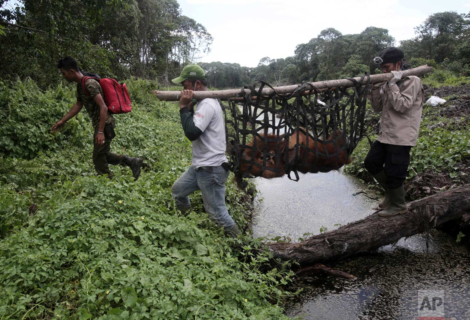 In this Thursday, Aug. 10, 2017 photo, conservationists of the Sumatran Orangutan Conservation Program (SOCP) use a makeshift stretcher to carry a tranquilized orangutan to be relocated from a swath of forest located too close to a palm oil plantation at Tripa peat swamp in Aceh province, Indonesia. (AP Photo/Binsar Bakkara)