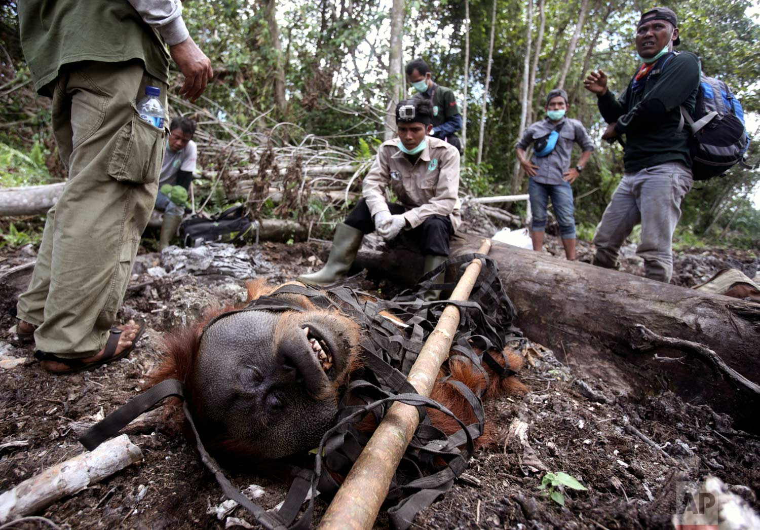In this Thursday, Aug. 10, 2017 photo, conservationists of the Sumatran Orangutan Conservation Program (SOCP) take a break as they transport a tranquilized male orangutan to be relocated from a swath of forest located too close to a palm oil plantation at Tripa peat swamp in Aceh province, Indonesia. (AP Photo/Binsar Bakkara)