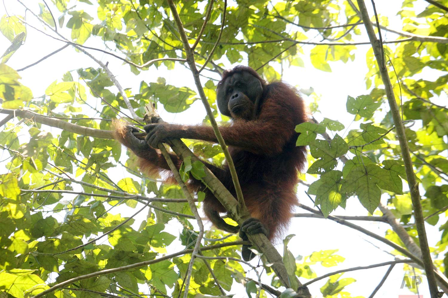 In this Thursday, Aug. 10, 2017 photo, an orangutan sits on the branch of a tree before being rescued and relocated from a swath of forest near a palm oil plantation at Tripa peat swamp in Aceh province, Indonesia. (AP Photo/Binsar Bakkara)