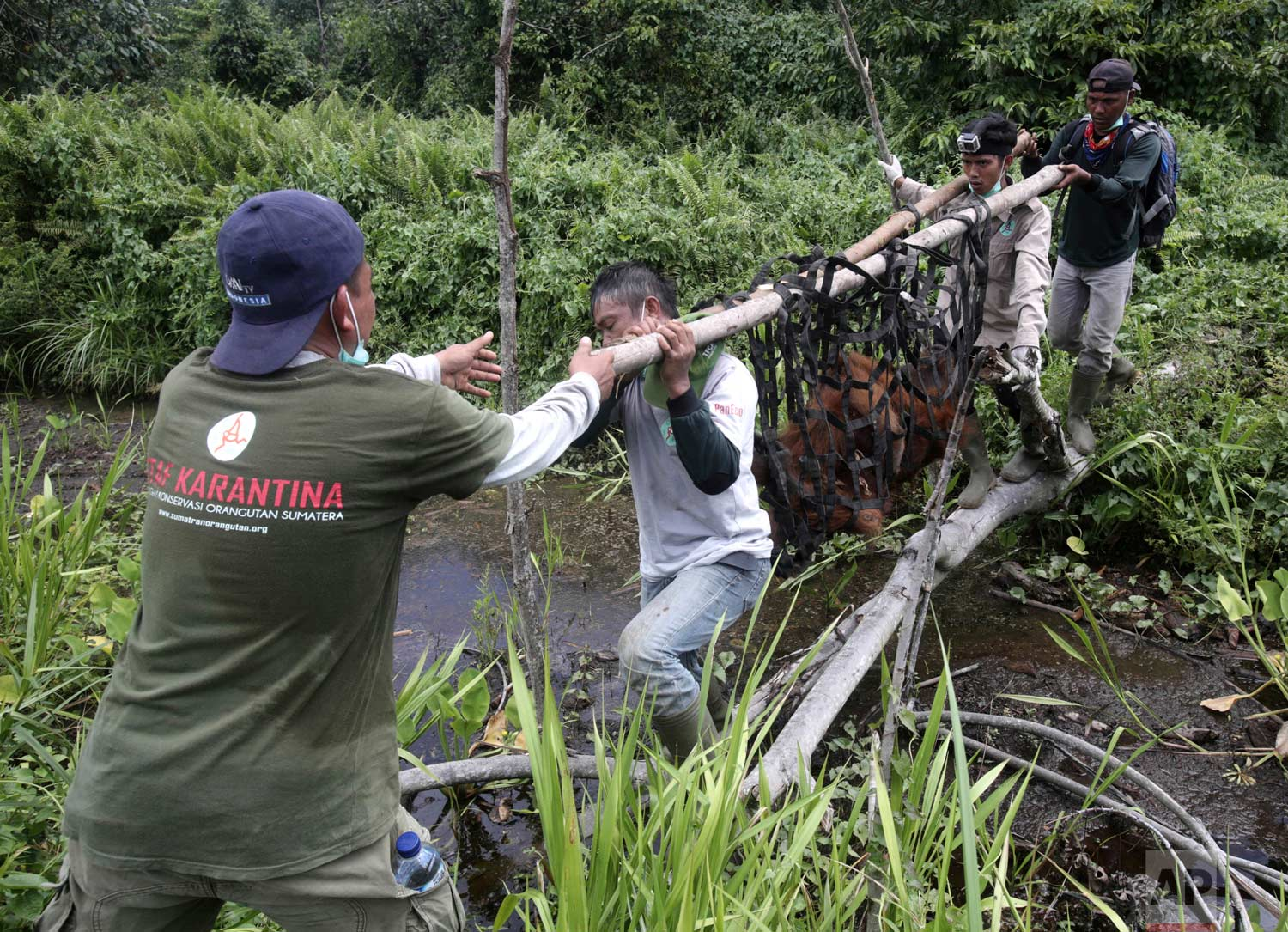 In this Thursday, Aug. 10, 2017 photo, conservationists of the Sumatran Orangutan Conservation Program (SOCP) use a makeshift stretcher to carry a tranquilized male orangutan to be relocated from a swath of forest located too close to a palm oil plantation at Tripa peat swamp in Aceh province, Indonesia. (AP Photo/Binsar Bakkara)