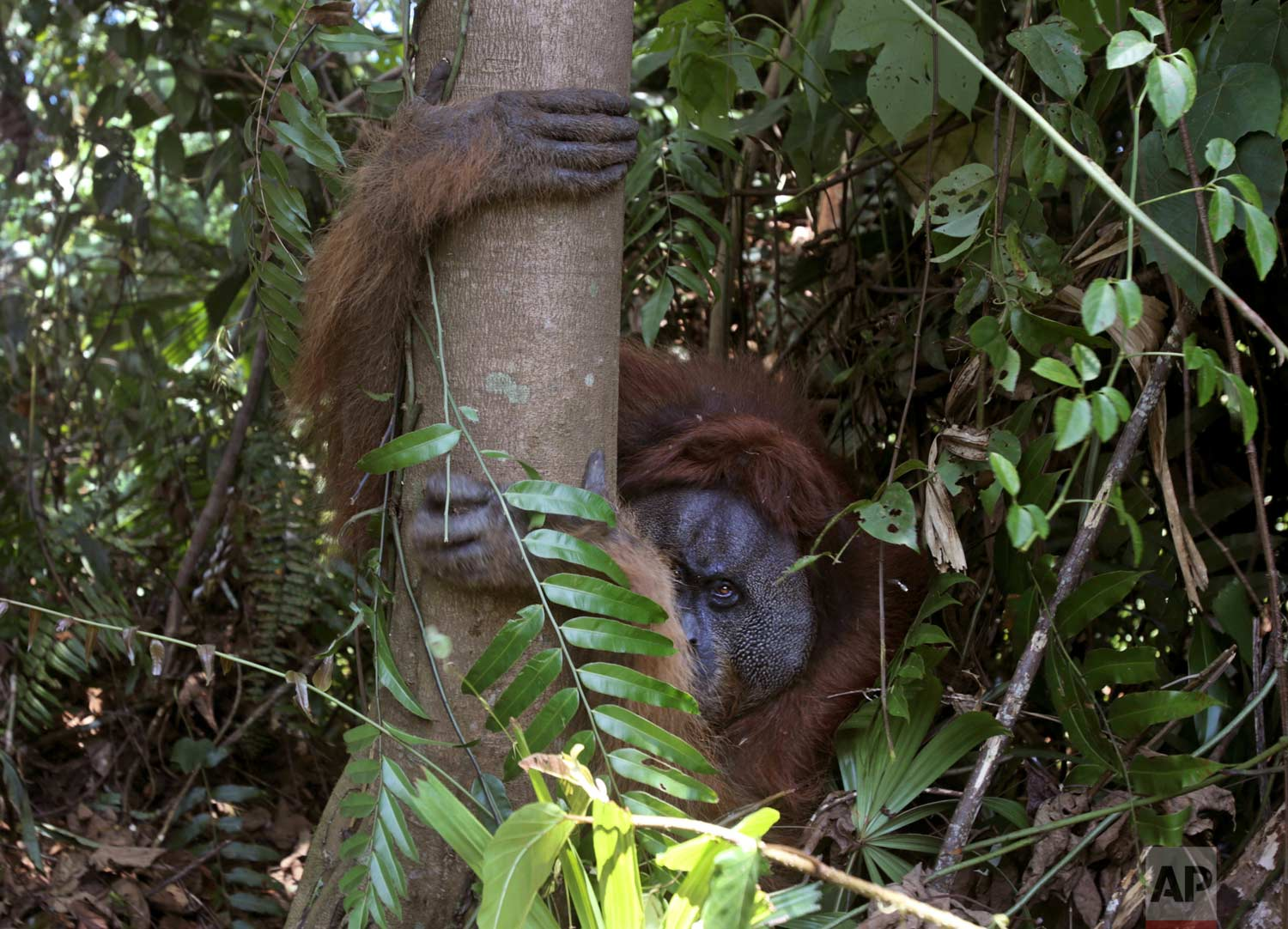 In this Thursday, Aug. 10, 2017 photo, a tranquilized male orangutan holds on to a tree as it's being rescued from a swath of forest located too close to a palm oil plantation at Tripa peat swamp in Aceh province, Indonesia. (AP Photo/Binsar Bakkara)