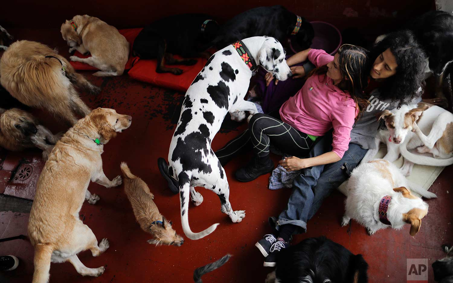 Jair and Mariam Luzan interact with their pets as they pose for a picture in their temporary home in the aftermath of a 7.1-magnitude earthquake that made them abandon their animal rescue home with their 50 dogs and pet pig, in Mexico City, Friday, Sept. 22, 2017. (AP Photo/Natacha Pisarenko)