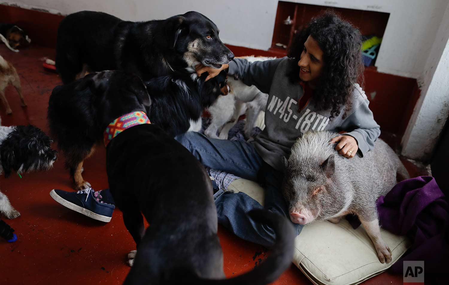 Jair Luzan interacts with some of his pets as they relax in their temporary home in the aftermath of a 7.1-magnitude earthquake, in Mexico City, Friday, Sept. 22, 2017. Luzan and his wife were obligated to abandon their animal rescue home with their 50 dogs and pet pig after rescuers told them that they had a gas leak and needed to leave immediately. (AP Photo/Natacha Pisarenko)