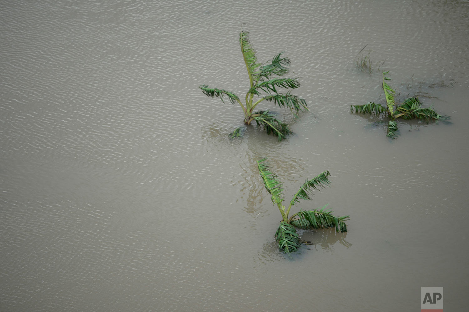 A plantain field stands under water after the passing of Hurricane Maria in Yabucoa, Puerto Rico, Thursday, September 21, 2017. (AP Photo/Carlos Giusti)