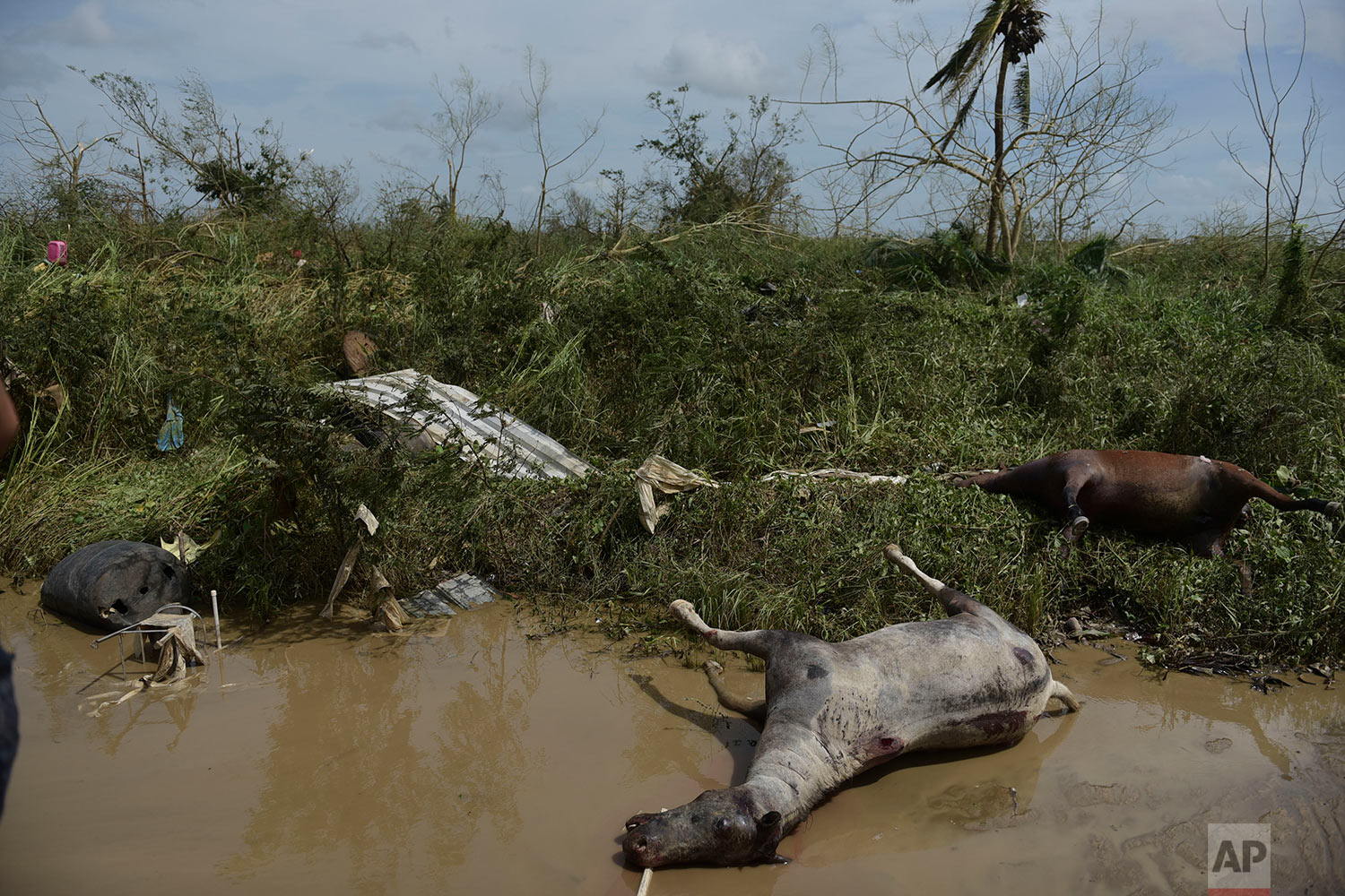 Dead horses lay on the side of the road after the passing of Hurricane Maria, in Toa Baja, Puerto Rico, Friday, September 22, 2017. (AP Photo/Carlos Giusti)
