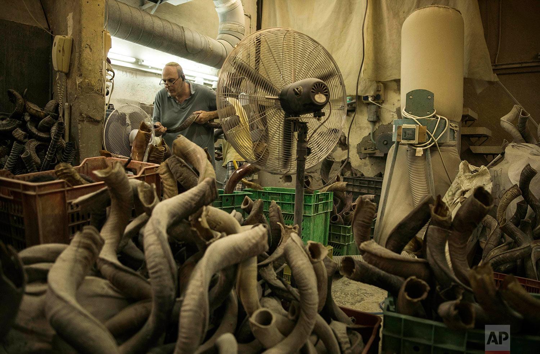 A man works on a shofar in Bar-Sheshet Ribak Shofarot Israel company in Tel Aviv, Israel, Tuesday, Sept. 19, 2017. Shofar, an instrument made of animals horns, is blown for religious purposes during Rosh Hoshana and Yom Kipur Jewish holidays. (AP Photo/Dan Balilty)
