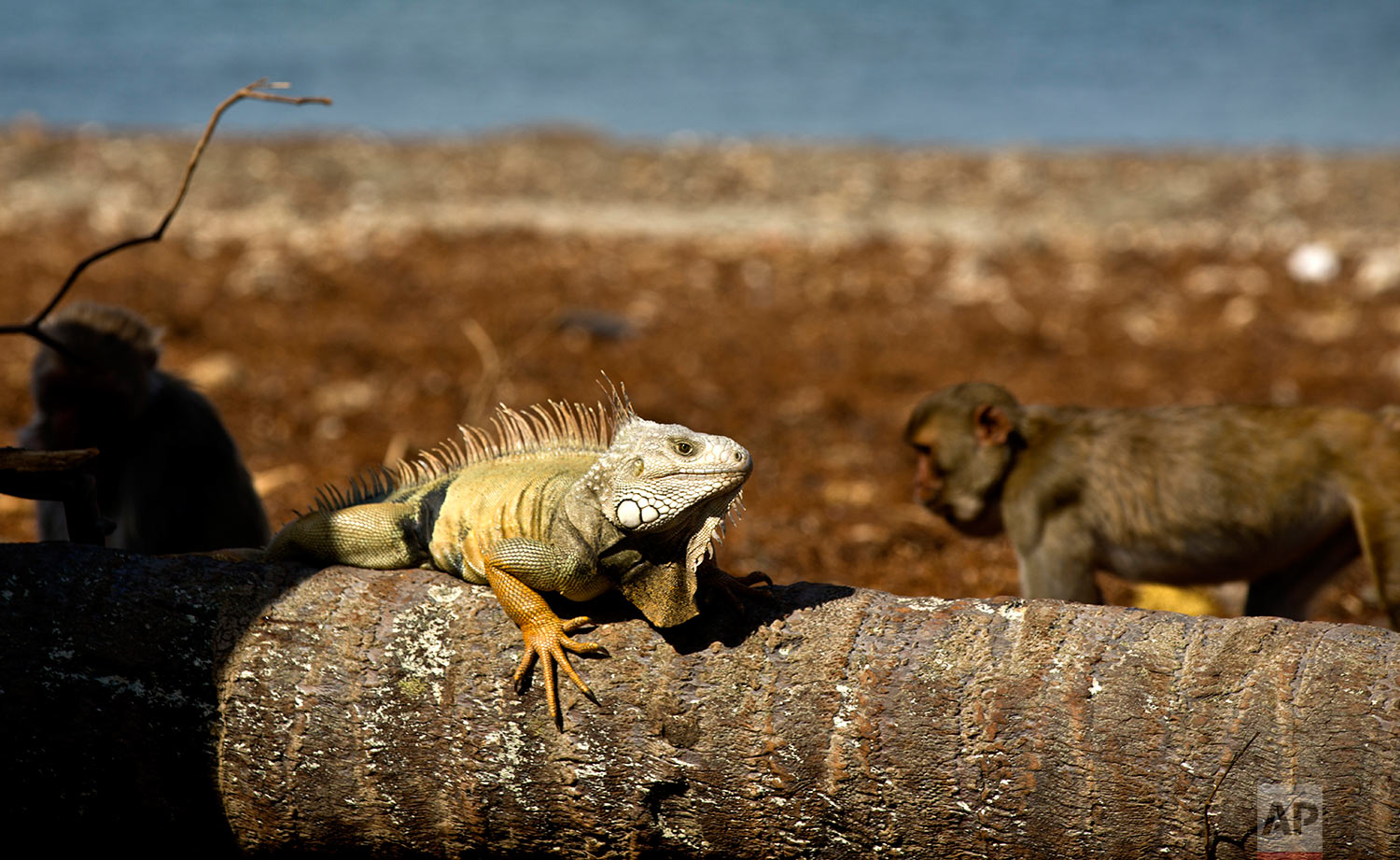 In this Wednesday, Oct. 4, 2017 photo, an iguana sunbathes as monkeys walk behind on Cayo Santiago, known as Monkey Island, in Puerto Rico, one of the world's most important sites for research into how primates think, socialize and evolve. (AP Photo/Ramon Espinosa)