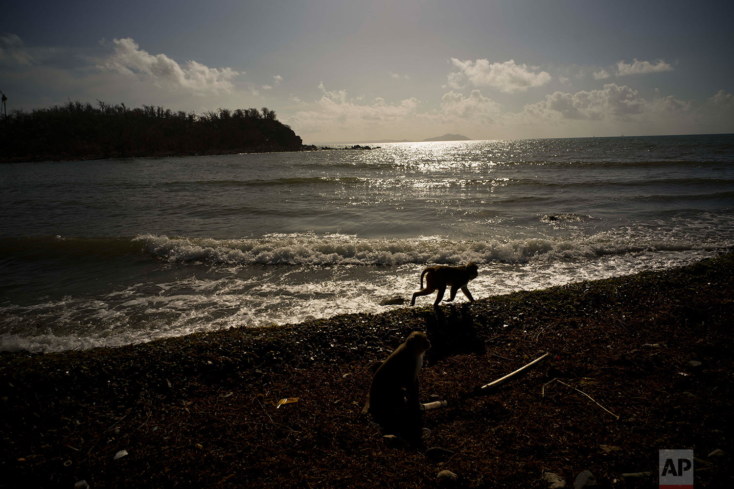 In this Wednesday, Oct. 4, 2017 photo, a monkey walks along the shore of Cayo Santiago, known as Monkey Island, in Puerto Rico, one of the world's most important sites for research into how primates think, socialize and evolve.  (AP Photo/Ramon Espinosa)
