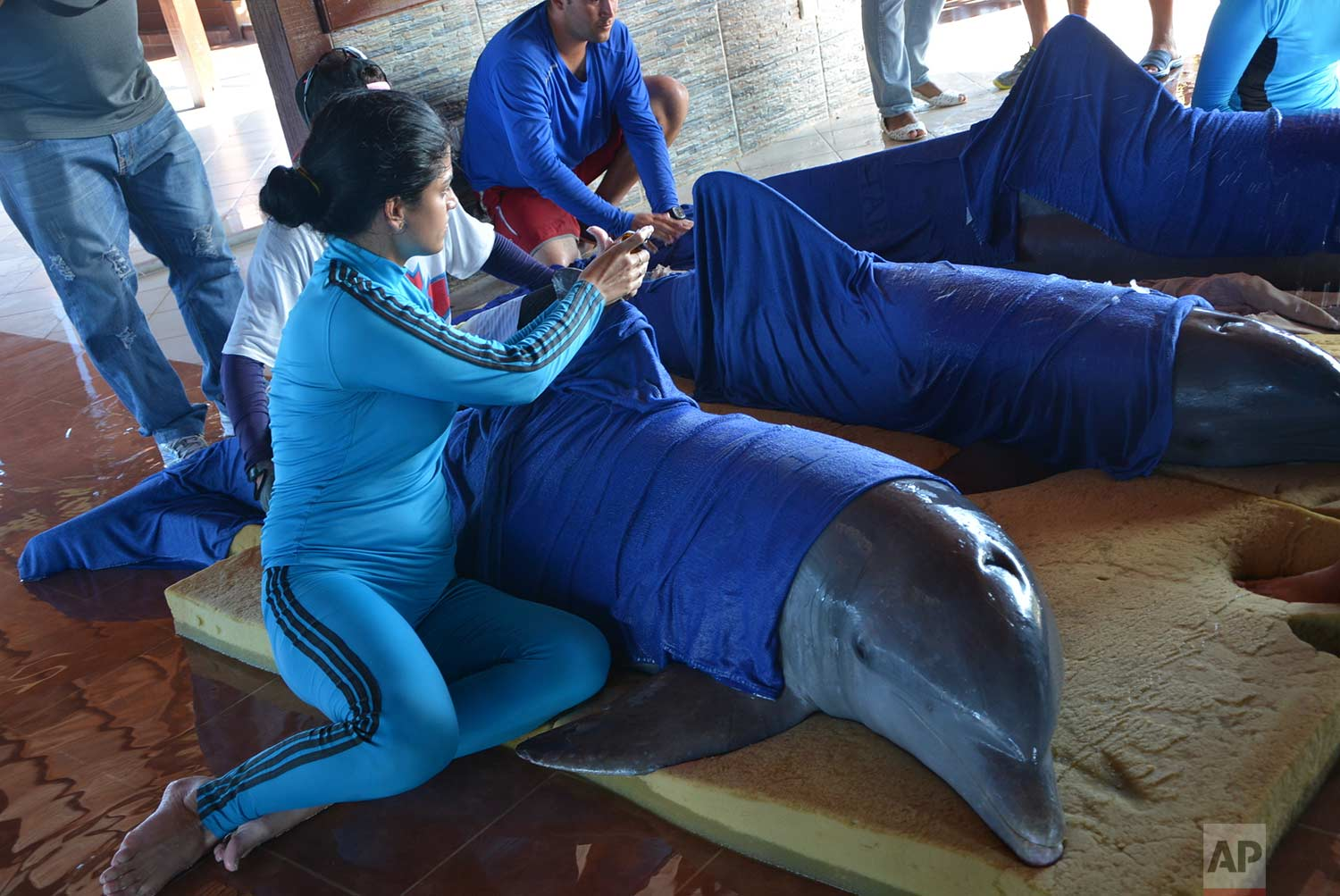 Handlers from the Cayo Guillermo dolphinarium prepare dolphins for their transfer to the dolphinarium in Cienfuegos, located on Cuba's southern coast, just hours before the arrival of Hurricane Irma, Friday, Sept. 8, 2017. (Osvaldo Gutierrez Gomez/ACN via AP)