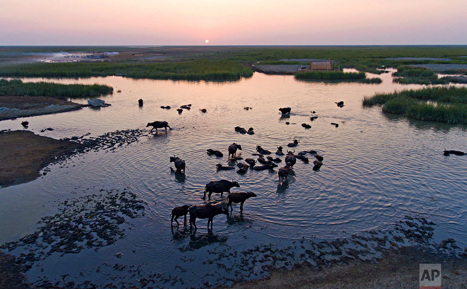 In this Monday, Sept. 11, 2017 photo, water buffalo wade in the Chabaish marsh in Nasiriyah, about 200 miles (320 kilometers) southeast of Baghdad, Iraq. Iraq's southern marshes, a lush remnant of the cradle of civilization, were reborn after the 2003 fall of Saddam Hussein when residents dismantled dams he had built a decade earlier to drain the area in order to root out Shiite rebels. (AP Photo/Nabil al-Jurani)
