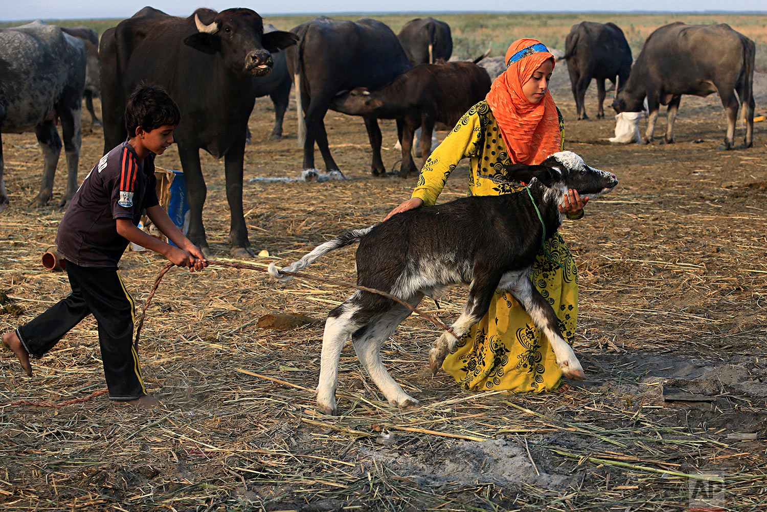 In this Monday, Sept. 11, 2017 photo, a water buffalo is taken to an island paddock in the Chabaish marsh in Nasiriyah, about 200 miles (320 kilometers) southeast of Baghdad, Iraq. Iraq's southern marshes, a lush remnant of the cradle of civilization, were reborn after the 2003 fall of Saddam Hussein when residents dismantled dams he had built a decade earlier to drain the area in order to root out Shiite rebels. But now the largest wetlands in the Middle East are imperiled again, by government mismanagement and new upstream projects.(AP Photo/Nabil al-Jurani)