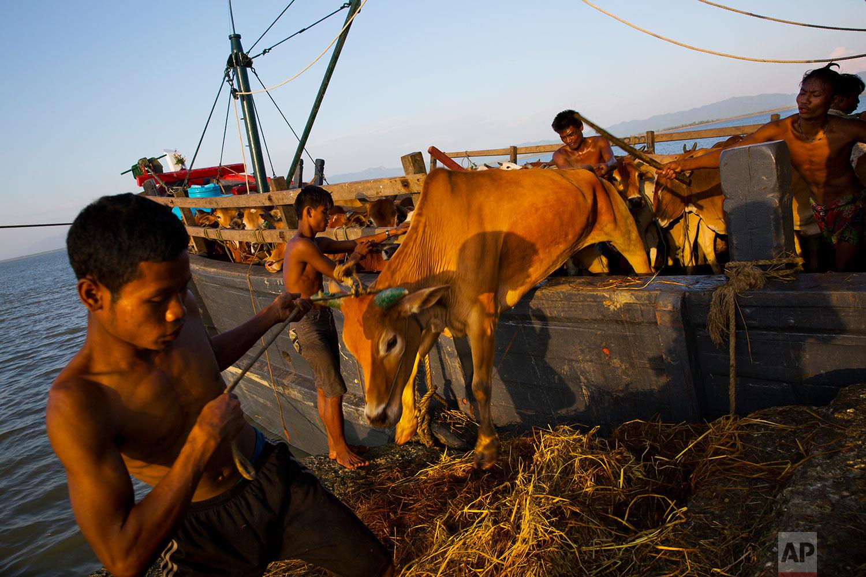 In this Nov. 4, 2017, photo, Myanmar cattle traders unload cows at Shah Porir Dwip dock, Bangladesh.(AP Photo/Bernat Armangue)