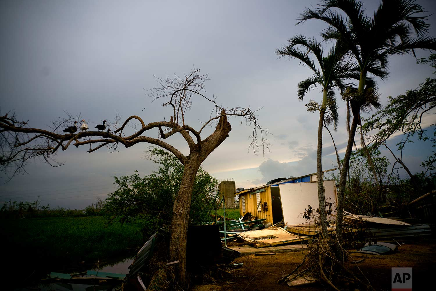 Ducks perch on the branch of a tree next to a home destroyed by Hurricane Maria in Toa Baja, Puerto Rico, Thursday, Oct. 12, 2017. (AP Photo/Ramon Espinosa)