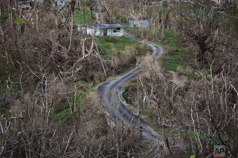 Trees stand barren in the aftermath of Hurricane Maria along a road in Montones Cuatro in the Piedrazul sector of Las Piedras, Puerto Rico, Monday, Oct. 2, 2017. (AP Photo/Carlos Giusti)
