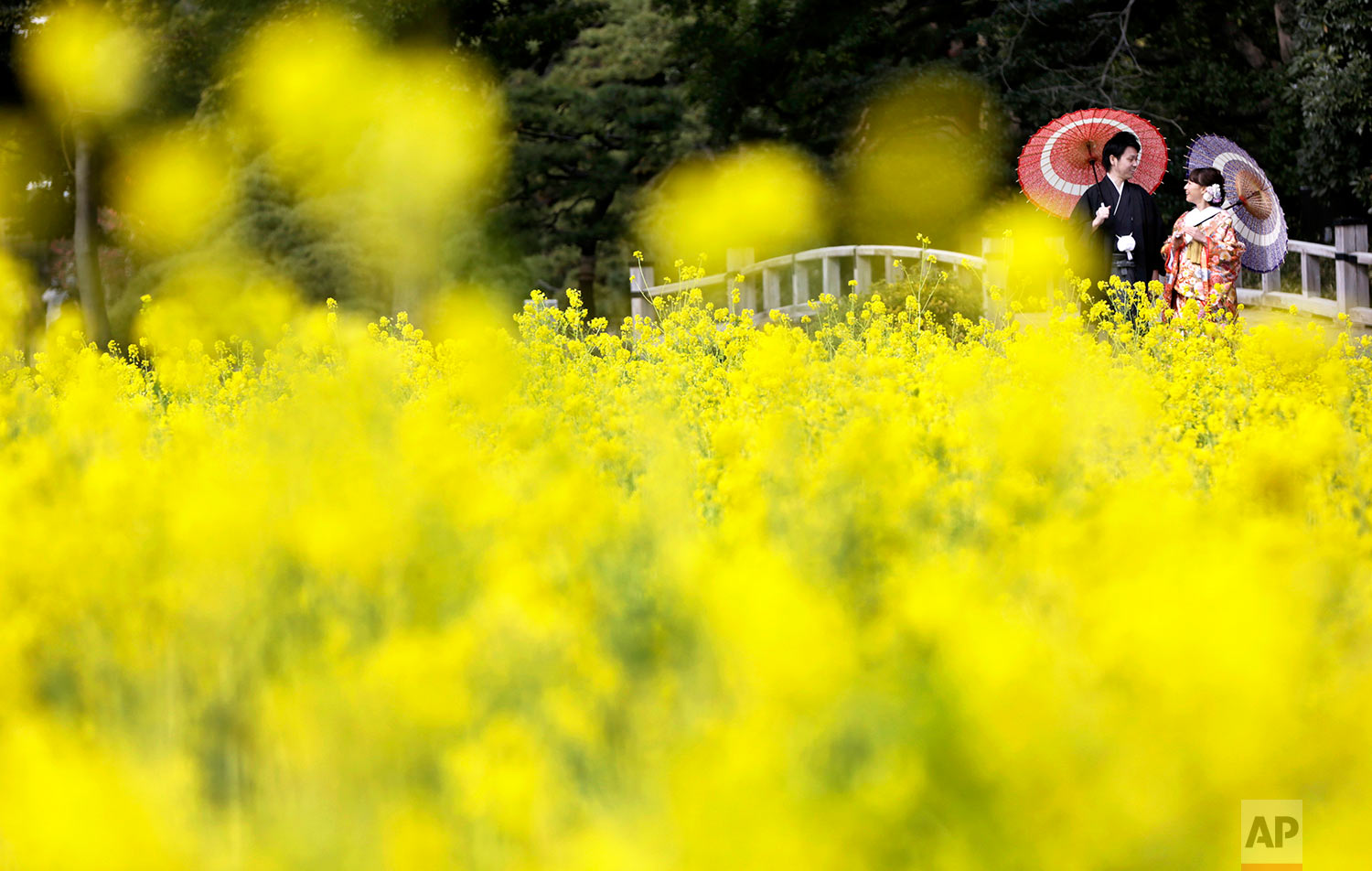 A couple wearing Japanese traditional kimonos pose for a wedding photo by a rapeseed oil field at Hamarikyu Garden in Tokyo, Friday, Feb. 10, 2017. The flowers are expected to remain in full bloom until the end of March. (AP Photo/Eugene Hoshiko)