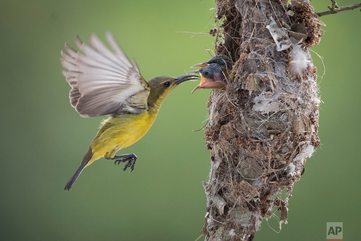 An Olive-backed Sunbird feeds its two babies insects in their nest in Klang, Selangor, Malaysia on Saturday, Jan. 21, 2017. Sunbirds, a group of very small passerine birds, feed largely on nectar, although they will also take insects, especially when feeding their young. Sunbirds are found in tropical Africa, India, and the forests of Southeast Asia, including the Philippines. (AP Photo/Vincent Thian)