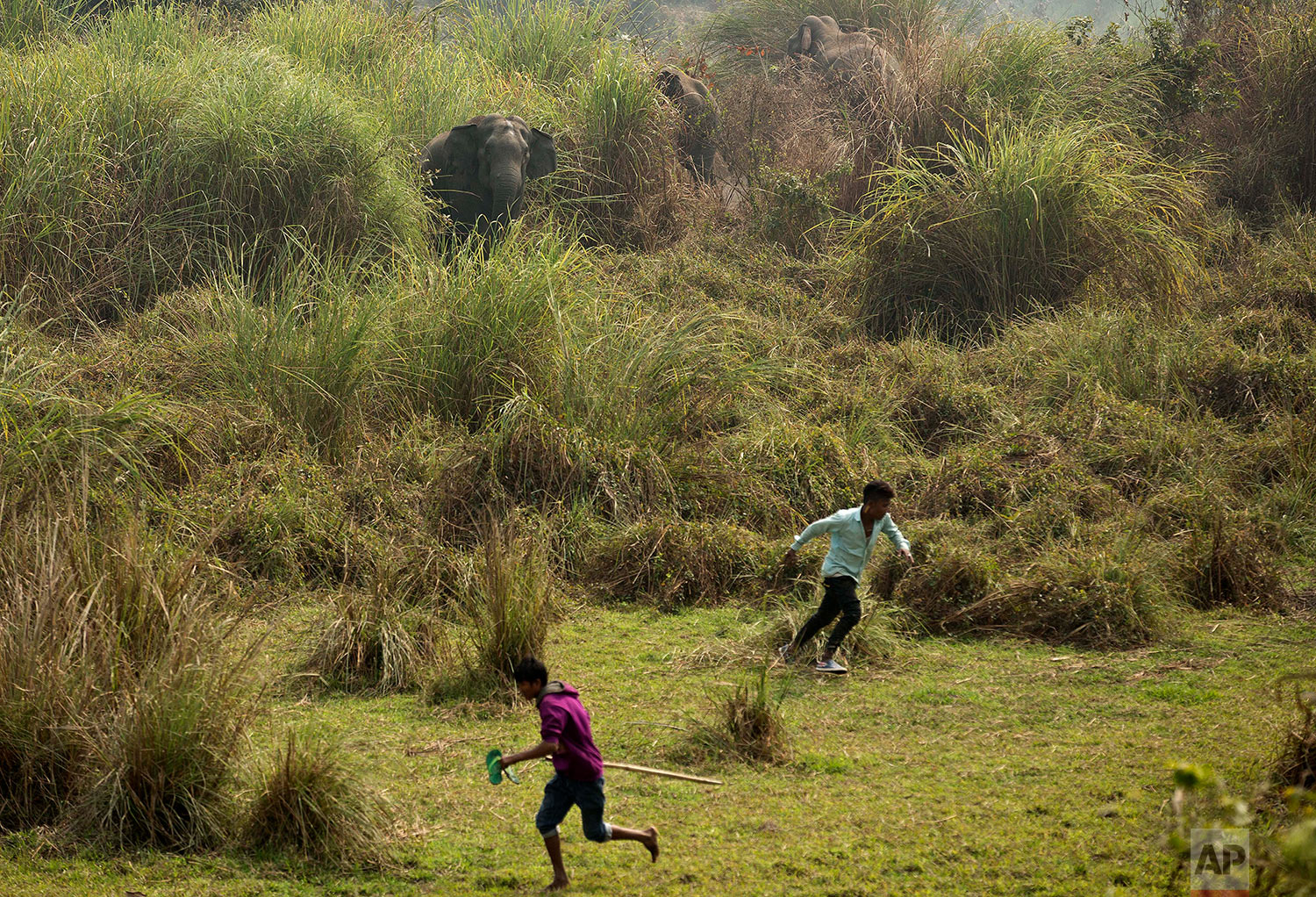 Wild elephants chase back Indian villagers who were trying to chase them away from their Misamari village on the outskirts of Gauhati, Assam state, India, Thursday, Feb. 9, 2017. Three wild elephants from nearby Amchang wildlife sanctuary entered the village in search of food Thursday. (AP Photo/Anupam Nath)