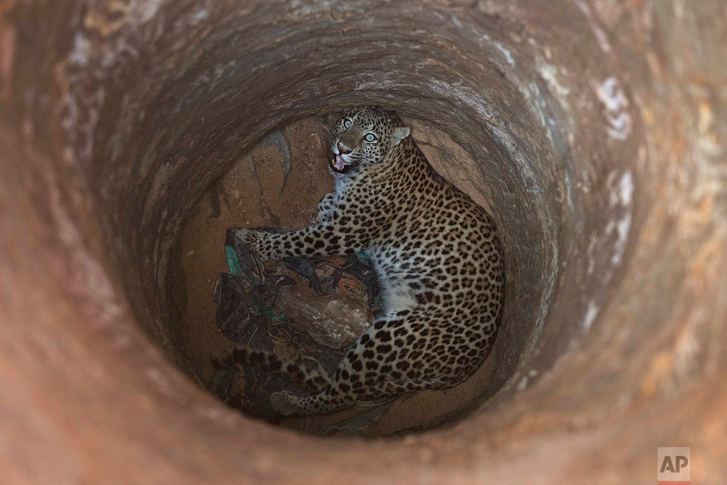 A full grown female leopard looks up from inside a deep well that it fell into near a residential area on a hill on the outskirts of Gauhati, India, Wednesday, Dec.13, 2017. Veterinarian and forest officials tranquilized and rescued the leopard before sending it to the state zoological park in Gauhati. (AP Photo/Anupam Nath)