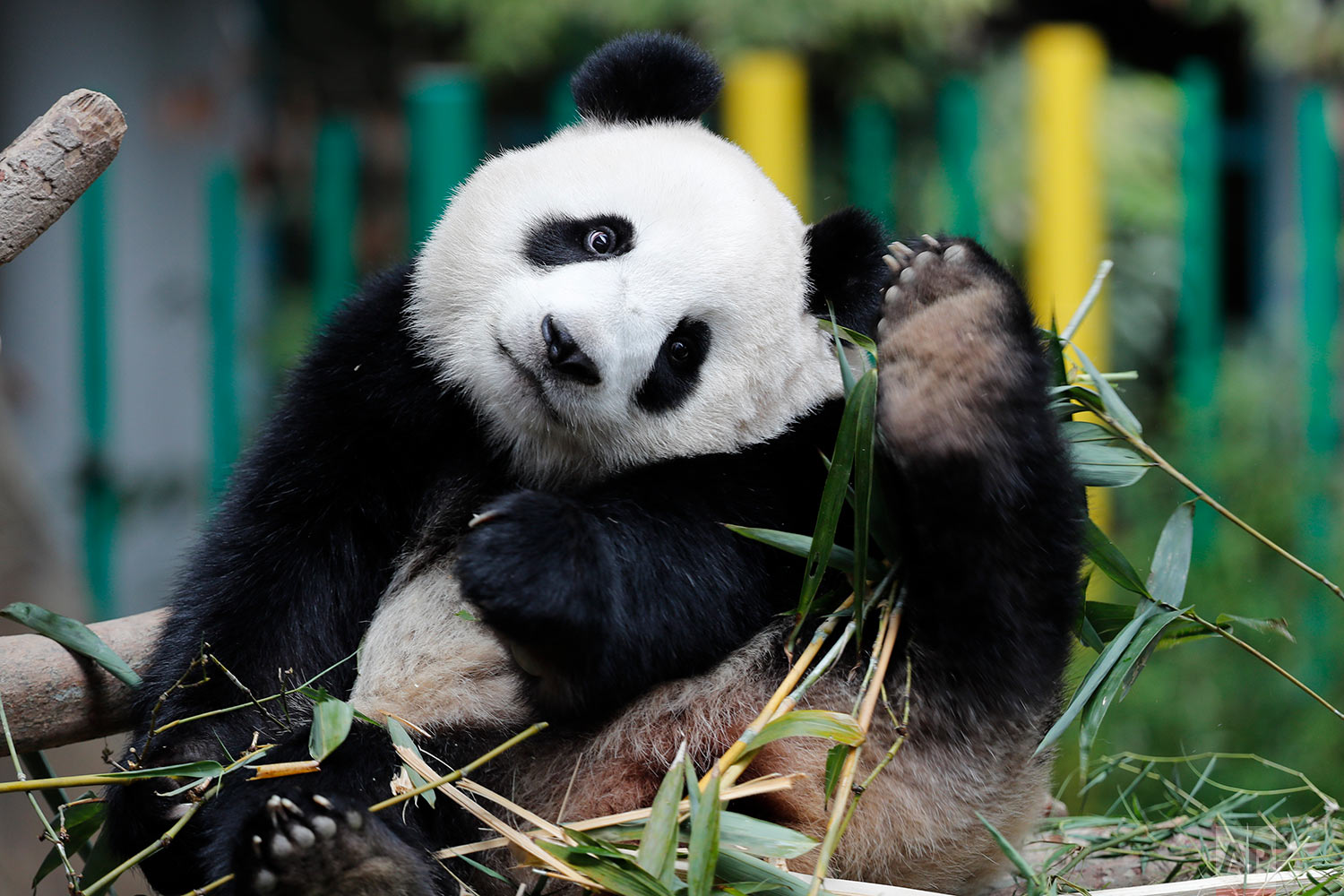 Two years old female giant panda cub Nuan Nuan, scratch her head at the Giant Panda Conservation Center in Kuala Lumpur, Malaysia, Thursday, Oct. 5, 2017. The cub, the offspring of Xing Xing and Liang Liang, two giant pandas on loan to Malaysia from China in 2014, will return to China on Nov. 14. (AP Photo/Vincent Thian)
