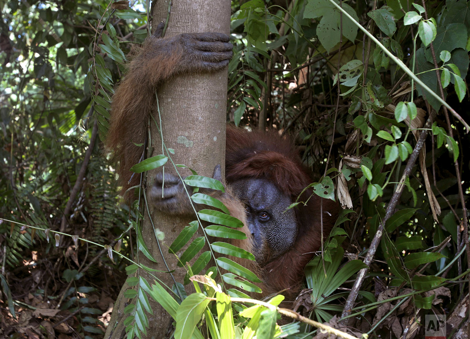 """In this Thursday, Aug. 10, 2017 photo, a tranquilized male orangutan holds on to a tree as it's being rescued from a swath of forest located too close to a palm oil plantation at Tripa peat swamp in Aceh province, Indonesia. Conservationists from Sumatran Orangutan Conservation Program (SOCP) relocated the orangutan they named """"Black"""" to a reintroduction center in Jantho, Aceh Besar where he will join about 100 other primates that have been released in the jungle there to establish a new wild population. (AP Photo/Binsar Bakkara)"""