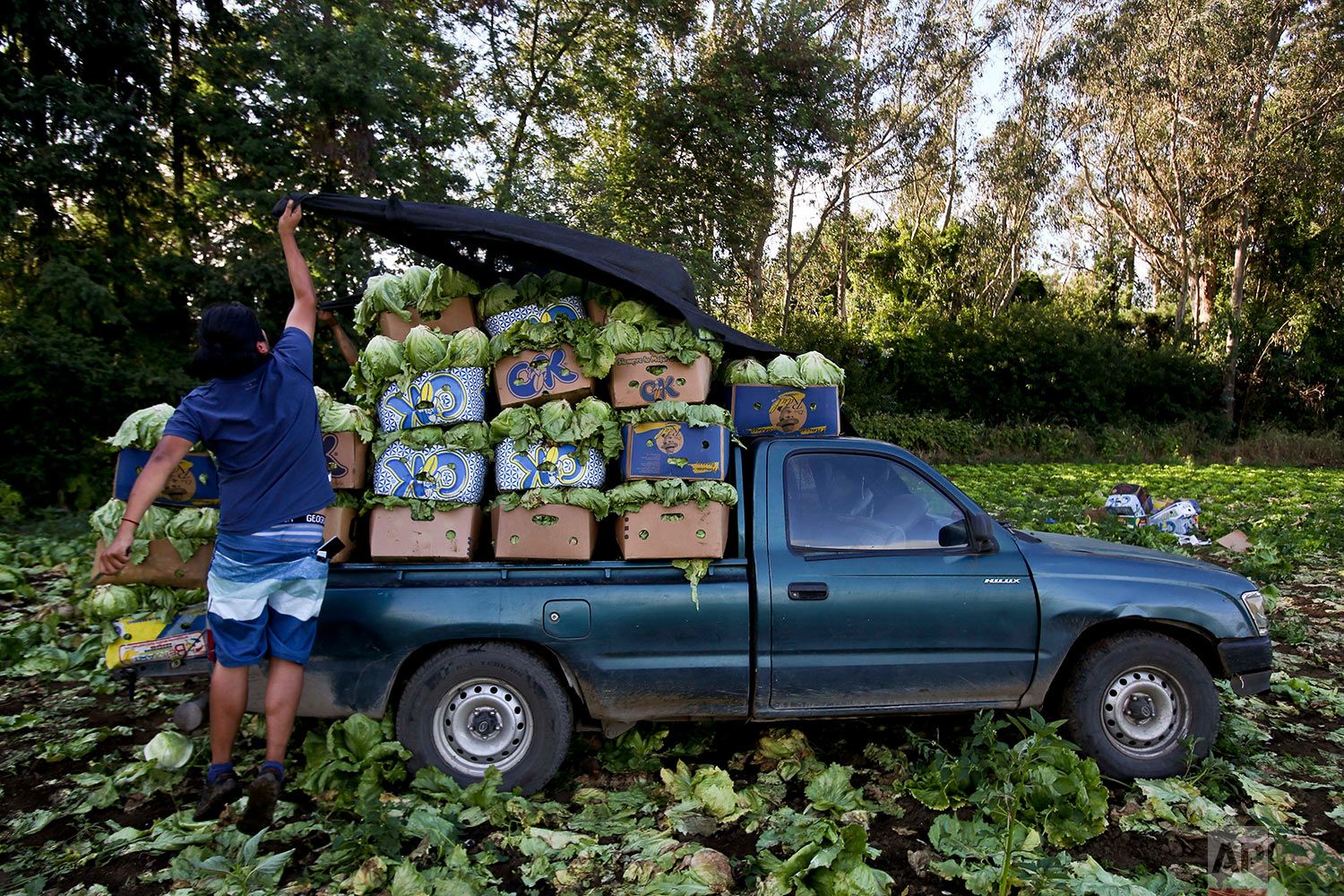 In this Monday, Jan. 8, 2018 photo, a Mapuche covers a truck with lettuce harvested on a rented land near of the air base where Pope Francis will celebrate Mass, in Temuco, Chile. (AP Photo/Esteban Felix)| See these photos on AP Images