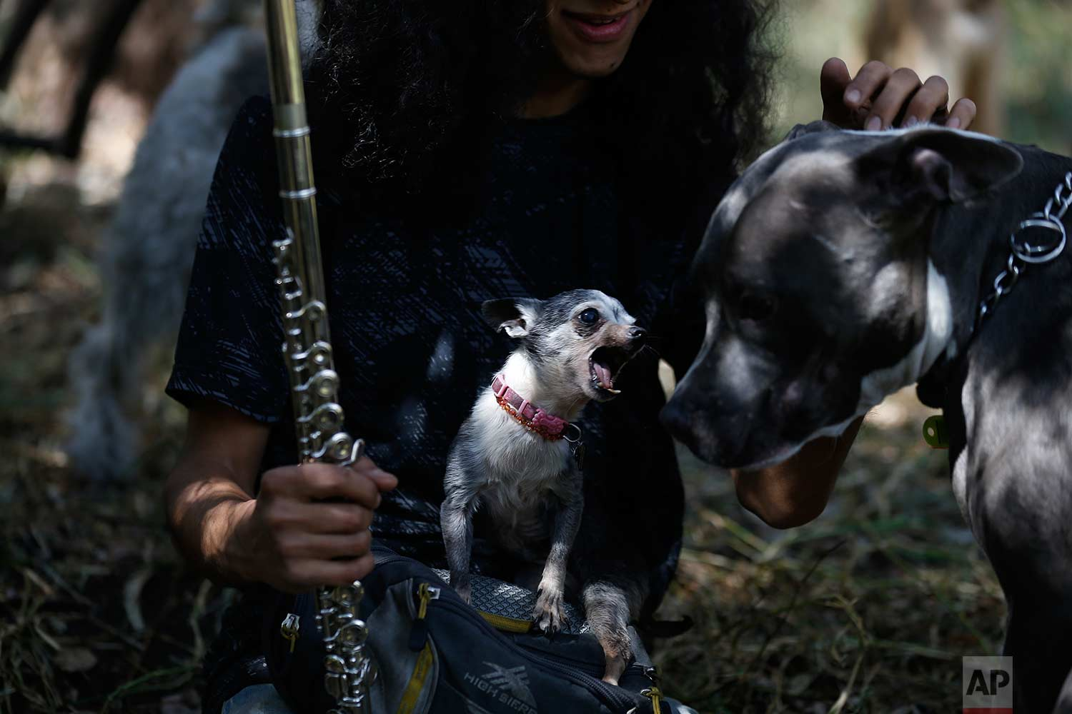 In this Wednesday, Dec. 24, 2017 photo, Azucar the chihuahua makes herself felt as she sits on her care taker Jair Benavides's lap, during a trip to Chapultepec forest in Mexico City. About half the dogs in the shelter run by Jair and Mariam are strays awaiting adoption. (AP Photo/Marco Ugarte)