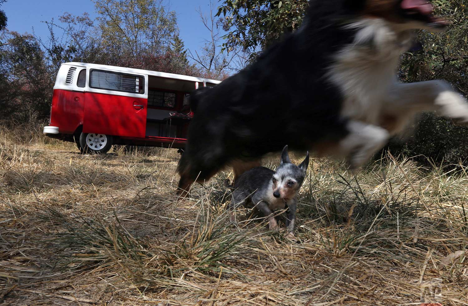 In this Wednesday, Dec. 24, 2017 photo, dogs of the Can-geles shelter run and play around the family Volkswagen van in Chapultepec forest in Mexico City. The Can-geles shelter ran by Jair Benavides and Mariam Gutierrez de Velasco is home to about 20 dogs, and a pig, and regularly take in strays, whose numbers vary because they are quickly trained and put up for adoption. (AP Photo/Marco Ugarte)