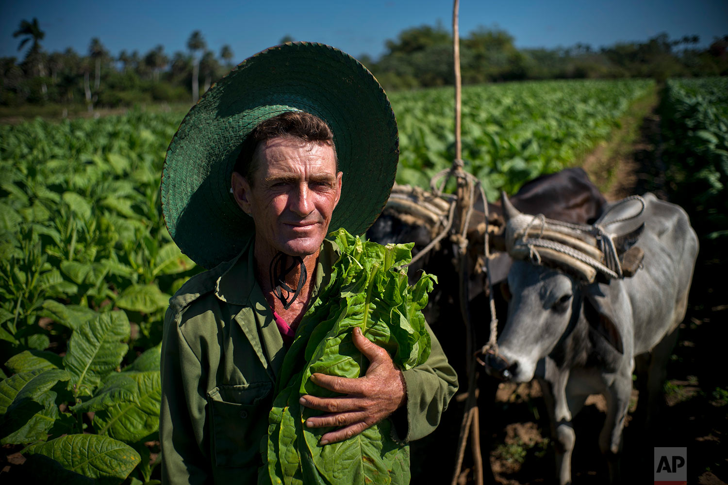 In this Feb. 27, 2018 photo, tobacco picker Jorge Luis Leon Becerra poses with his oxen and a handful of freshly harvested tobacco leaves, at the Martinez tobacco farm in Cuba's western province of Pinar del Rio. (AP Photo/Ramon Espinosa)