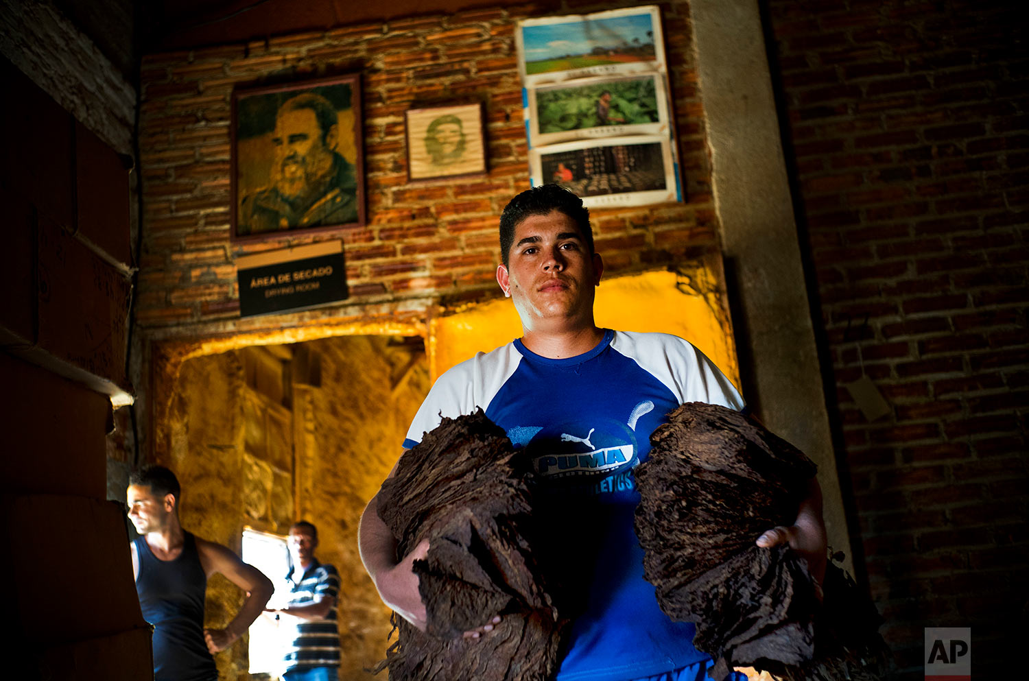 In this Feb. 27, 2018 photo, Luis Miguel Vergara poses in front of a image of late Cuban leader Fidel Castro, with handfuls of fermented tobacco leaves, in preparation for the drying stage, at a state-run warehouse in San Luis, in Cuba's western province of Pinar del Rio. (AP Photo/Ramon Espinosa)