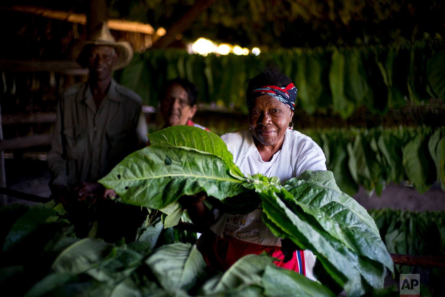 In this Feb. 27, 2018 photo, 75-year-old Delma Mendivez Martinez poses with freshly harvested tobacco leaves ready for their first drying, at a warehouse of the Martinez tobacco farm in Cuba's western province of Pinar del Rio. (AP Photo/Ramon Espinosa)