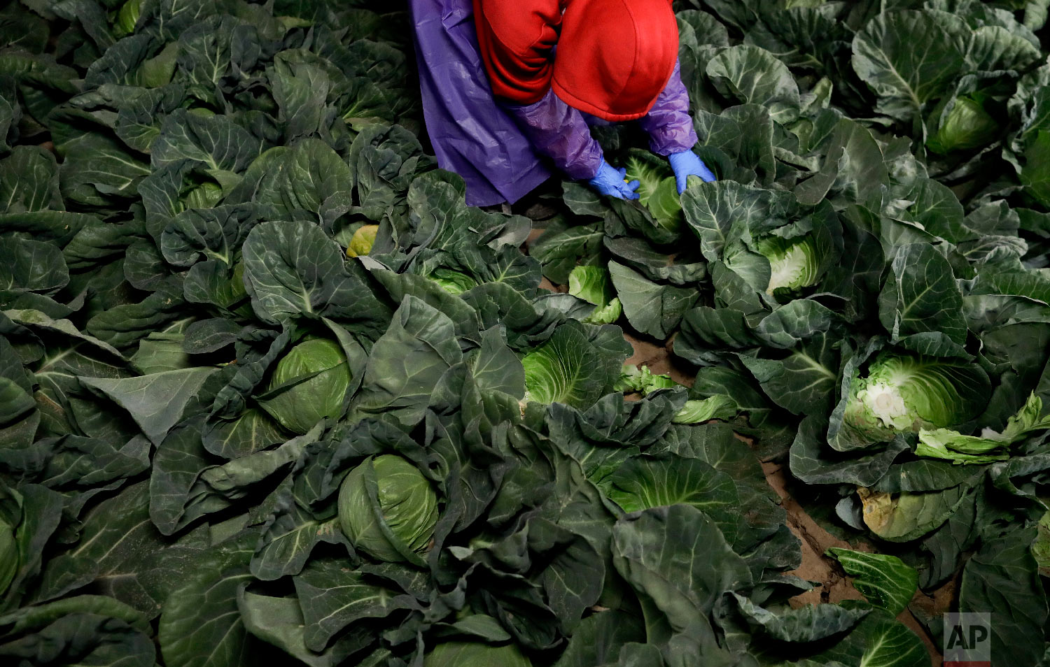 In this March 6, 2018 picture, farmworker Elias Solis, of Mexicali, Mexico, picks cabbage before dawn in a field outside of Calexico, Calif. (AP Photo/Gregory Bull)