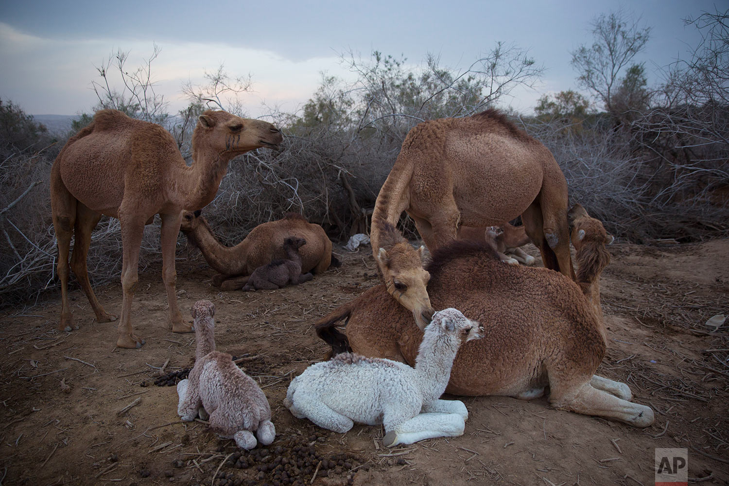 In this Friday, Feb. 9, 2018 photo, camels rest at the night camp after grazing all day in the open field at the territory of Israeli Kibbutz Kalya, near the Dead Sea in the West Bank. (AP Photo/Oded Balilty)