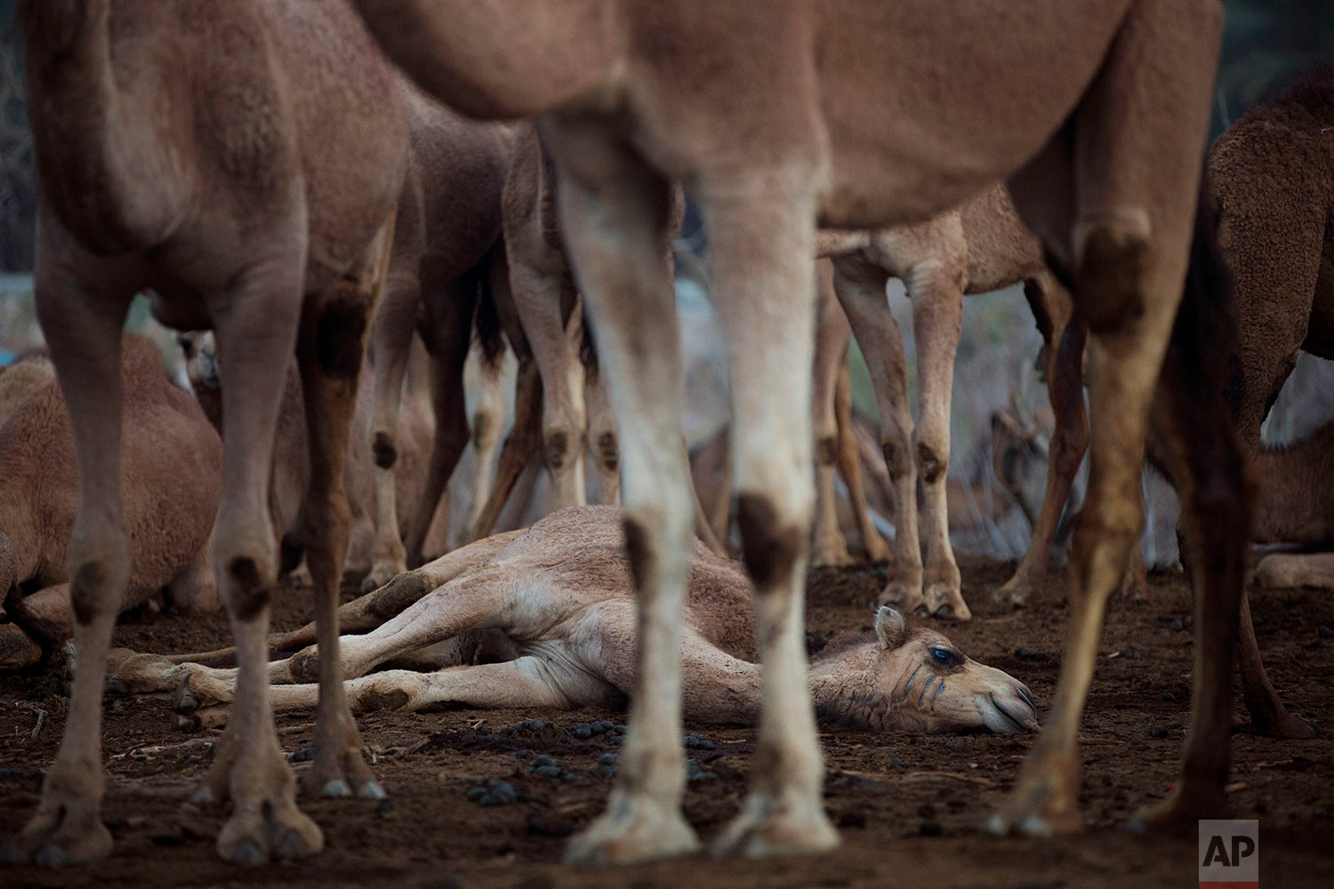 In this Saturday, Feb. 10, 2018 photo, camels gather at the night camp in the territory of Israeli Kibbutz Kalya, near the Dead Sea in the West Bank. (AP Photo/Oded Balilty)