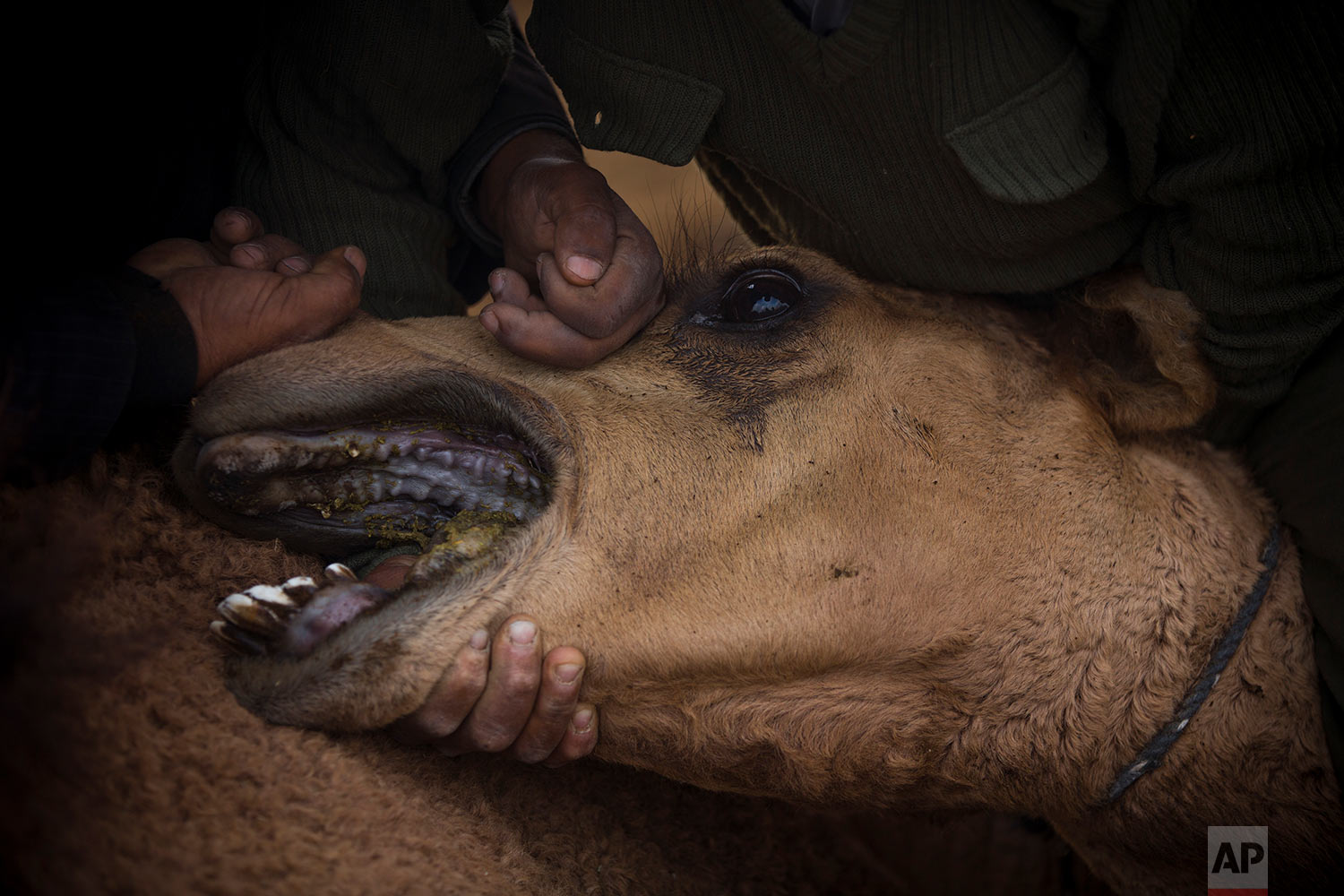 In this Saturday, Feb. 10, 2018 photo, Beduin camels owner Ali El Guran, left, and his camels herder Ali Zarlul, clean the camel respiratory, at the night camp at the territory of Israeli Kibbutz Kalya, near the Dead Sea in the West Bank. (AP Photo/Oded Balilty)