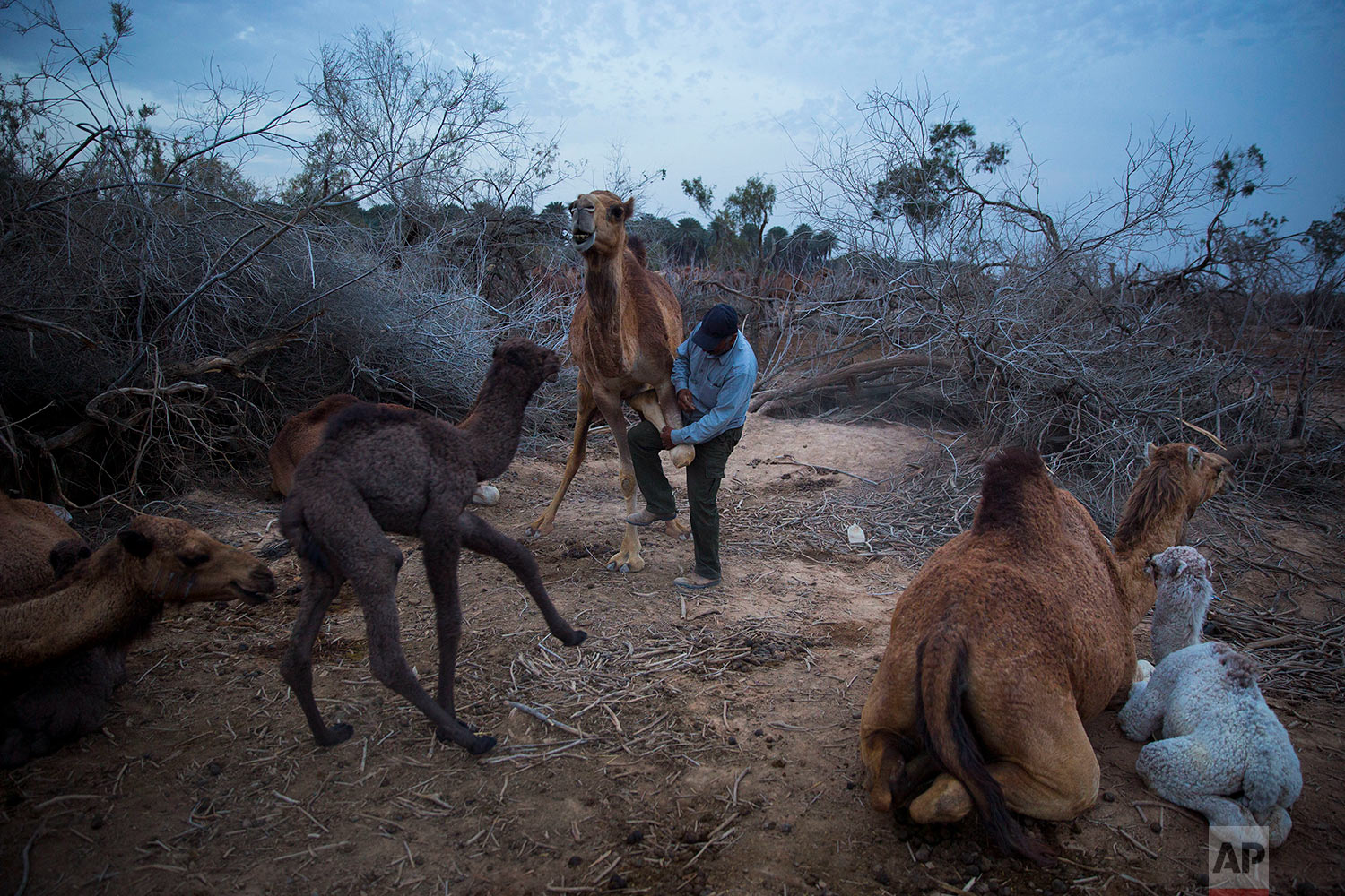 In this Friday, Feb. 9, 2018 photo, Beduin camels herder Ali Zarlul ties the leg of camel to prevent her from walk away at the night camp in the territory of Israeli Kibbutz Kalya, near the Dead Sea in the West Bank. (AP Photo/Oded Balilty)