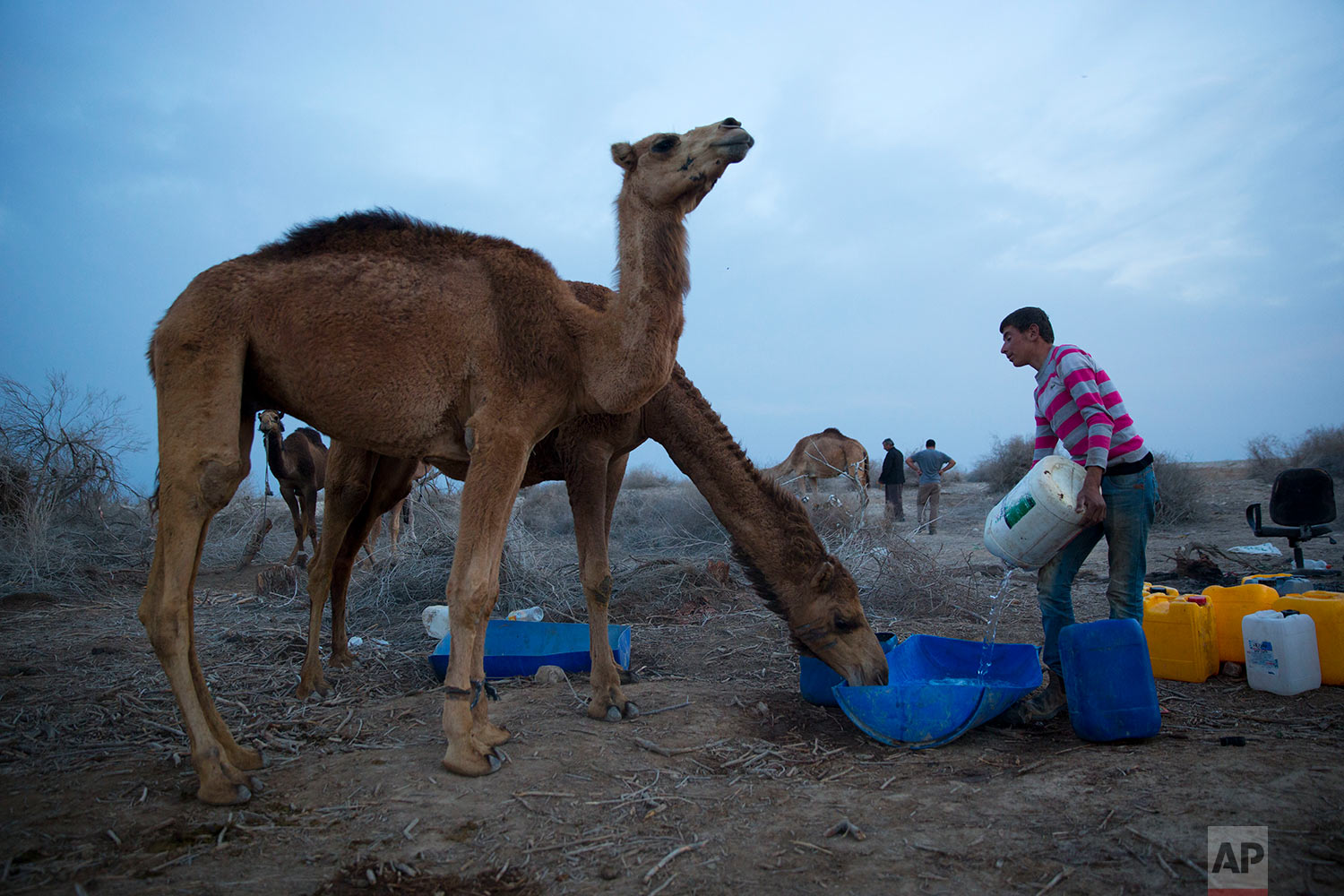 In this Monday, Jan. 22, 2018 photo, Beduin camels herder Mahmoud Zarlul fills water barrel for camels as they back to the night camp after grazing all day in the open field at the territory of Israeli Kibbutz Kalya, near the Dead Sea in the West Bank. (AP Photo/Oded Balilty)