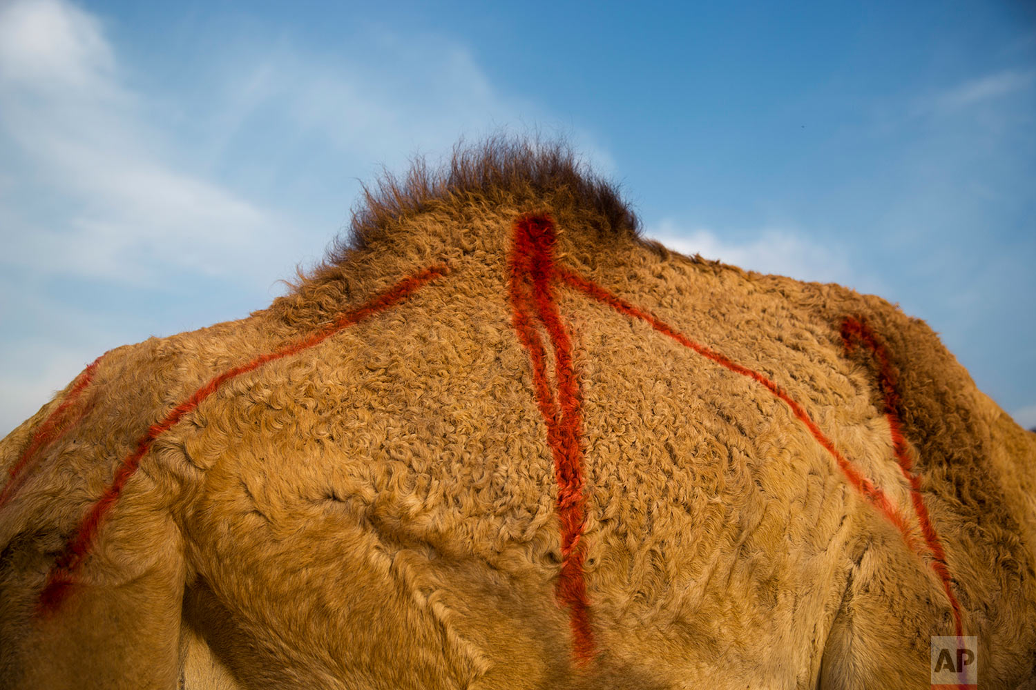 In this Saturday, Feb. 10, 2018 photo, one of thirty pregnant camels marked with red spray at the territory of Israeli Kibbutz Kalya, near the Dead Sea in the West Bank. (AP Photo/Oded Balilty)