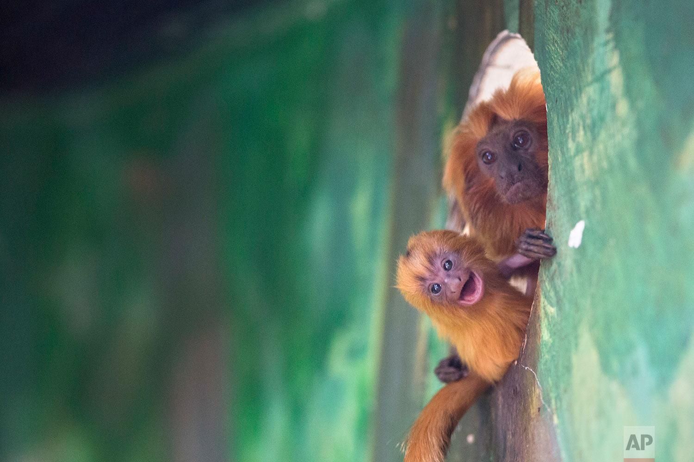 Israel Rare Primate