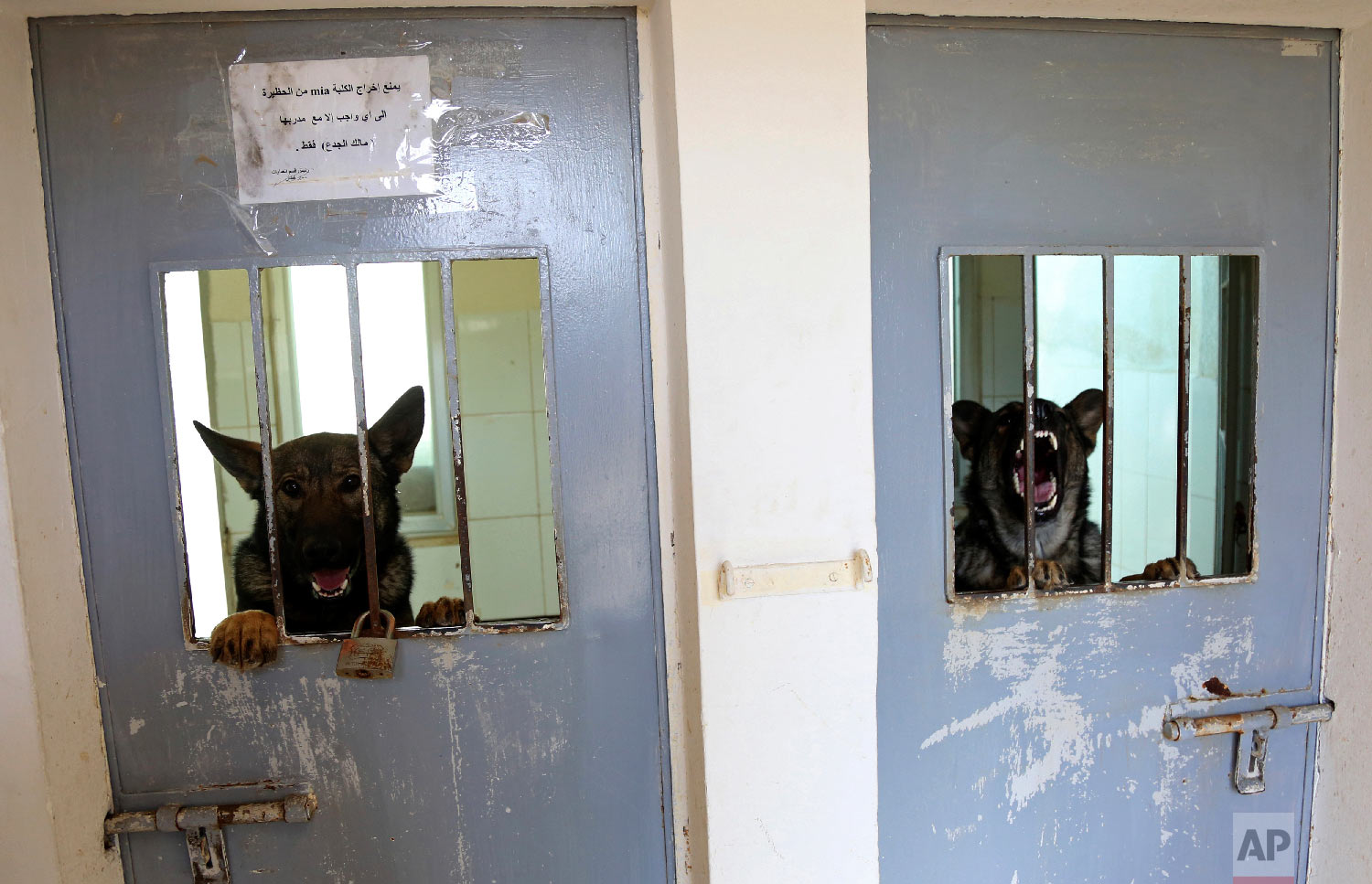 In this Monday, March 19, 2018 photo, two dogs from the K-9 unit of Jordan's police look through the bars of their kennels. The State Department's Anti-Terrorism Assistance program has trained 39 dog-handler teams and embedded two mentors with the program in Jordan, as part of efforts to upgrade Jordan's law enforcement efforts. (AP Photo/Raad Adayleh)
