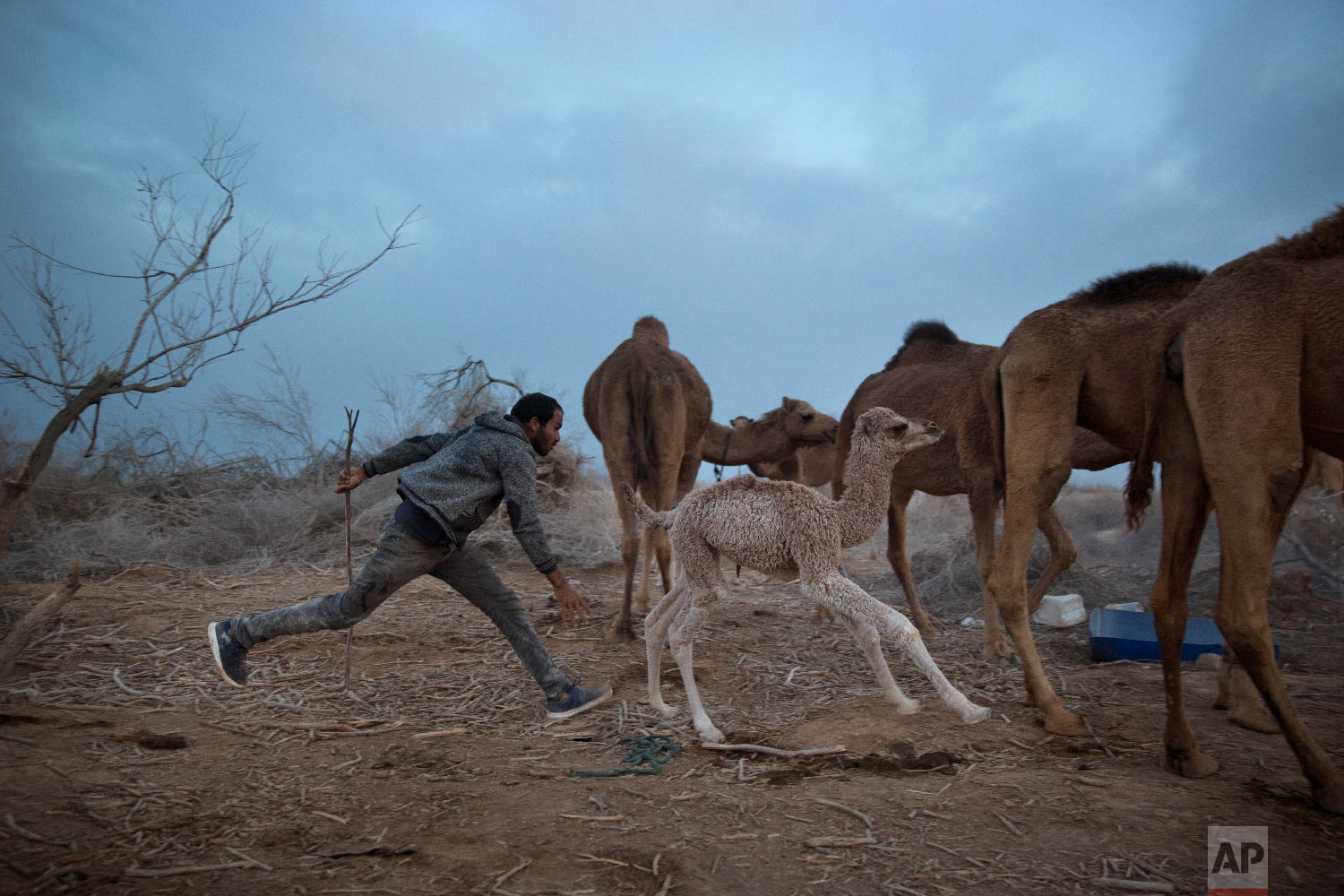 In this Monday, Jan. 22, 2018 photo, Beduin camels herder Muhammed Zarlul runs after a newborn camel as they back to the night camp after grazing all day in the open field at the territory of Israeli Kibbutz Kalya, near the Dead Sea in the West Bank. For three months a year, in the winter time Bedouin Arab herders take their 130 camels to graze on the shores of the Dead Sea, at the lowest place on Earth. (AP Photo/Oded Balilty)