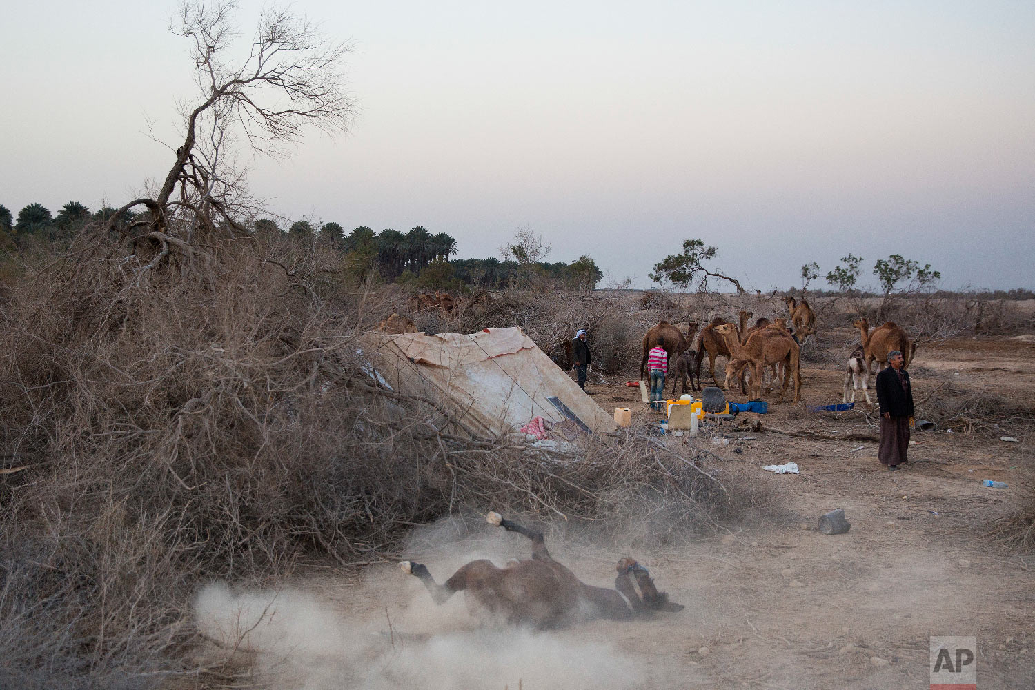 In this Monday, Jan. 22, 2018 photo, camels are back to the night camp after grazing all day in the open field at the territory of Israeli Kibbutz Kalya, near the Dead Sea in the West Bank. For three months a year, in the winter time Bedouin Arab herders take their 130 camels to graze on the shores of the Dead Sea, at the lowest place on Earth. (AP Photo/Oded Balilty)