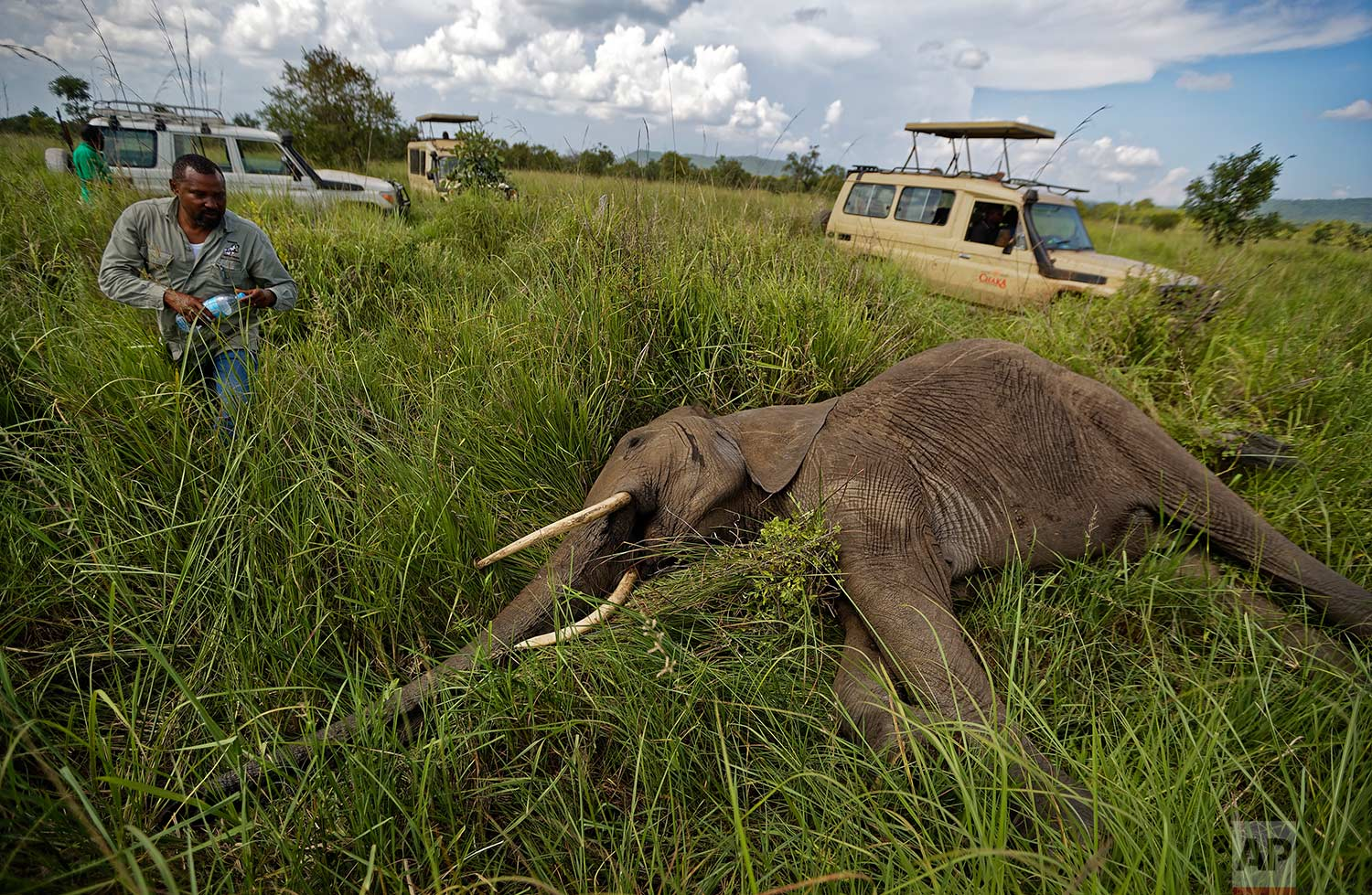 In this photo taken Friday, March 23, 2018, wildlife veterinarian Ernest Mjingo walks toward a tranquilized elephant carrying a bottle of water to pour over its ears to keep it cool, during an operation to attach GPS tracking collars in Mikumi National Park, Tanzania. (AP Photo/Ben Curtis)