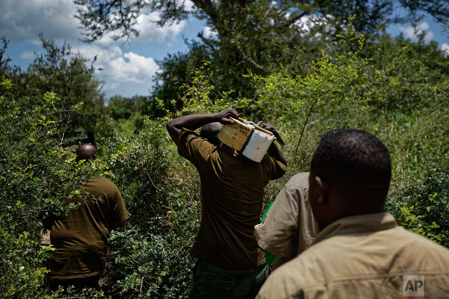 In this photo taken Thursday, March 22, 2018, a team of wildlife veterinarians carry a 12-kilogram (26-pound) GPS tracking collar as they walk through thick bush in search of an elephant to tranquilize and collar, near Mikumi National Park, Tanzania. (AP Photo/Ben Curtis)