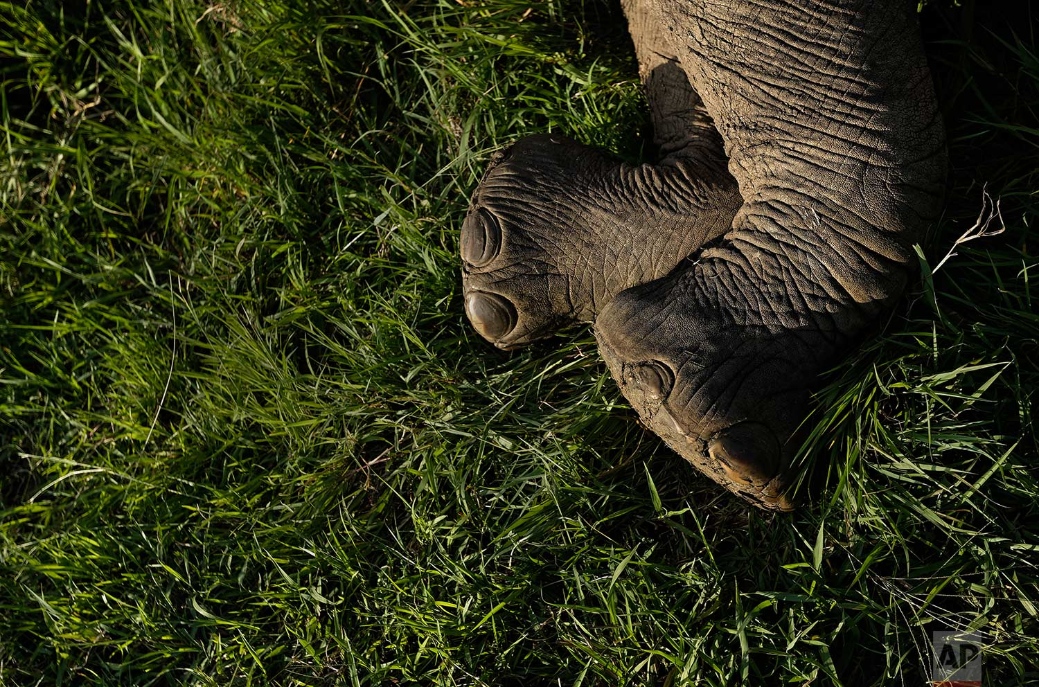 In this photo taken Wednesday, March 21, 2018, a tranquilized elephant lies on the ground during an operation to attach GPS tracking collars in Mikumi National Park, Tanzania. (AP Photo/Ben Curtis)