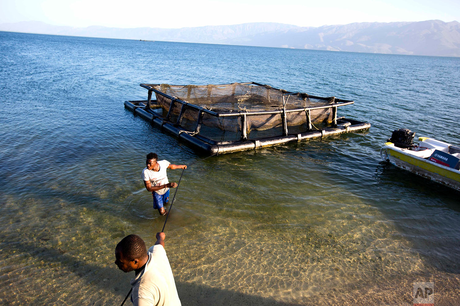 In this April 17, 2018 photo, Taino Aqua Fish farm workers pull in a cage of tilapia fish on Lake Azuei in Fond Parisien, Haiti. The small company started with 16 cages in 2014, building some out of PVC pipe and netting and repurposing others from Taiwan that were once used to raise tuna. Today they have 20. (AP Photo/Dieu Nalio Chery)