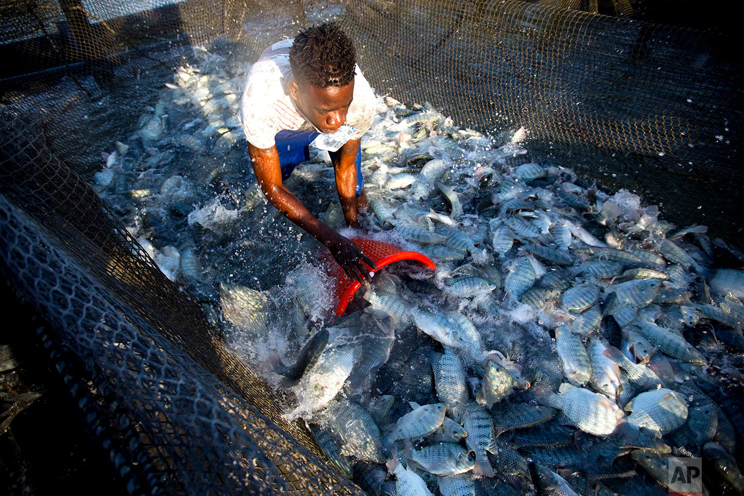 In this April 17, 2018 photo, Taino Aqua Fish worker Berthony Nelson removes tilapia from a cage in Lake Azuei Fond Parisien, Haiti. A week's crop can reach 20,000 pounds. (AP Photo/Dieu Nalio Chery)
