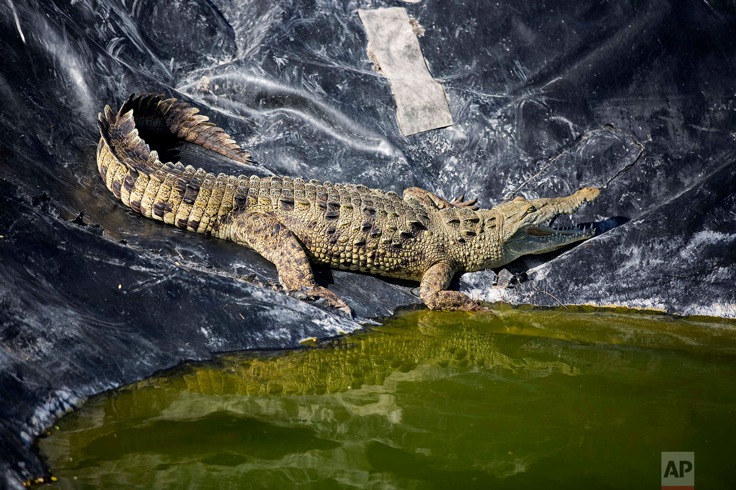 In this April 19, 2018 photo, an alligator sunbathes in the water treatment area of the Taino Aqua Farm fish plant, next to Lake Azuei in Fond Parisien, Haiti. The fish farm treats the water that gets bloody from the processing of its tilapia fish, before sending it to the town's sewage system. The alligator was acquired from a local fisherman and put here to isolate it, where workers feed it and give it fresh water. (AP Photo/Dieu Nalio Chery)
