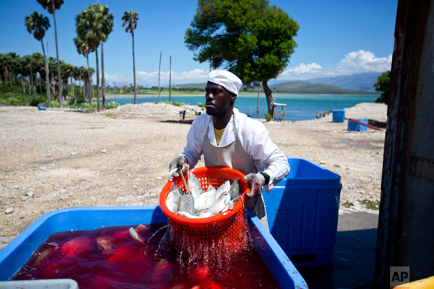 In this April 26, 2018 photo, a Taino Aqua Fish worker strains freshly killed and gutted tilapia at the factory on the shore of Lake Azuei in Fond Parisien, Haiti. Many residents form this border town long looked for jobs elsewhere in Haiti, or more often in the more prosperous Dominican Republic, but now people approach this fish company that got started in 2014. (AP Photo/Dieu Nalio Chery)